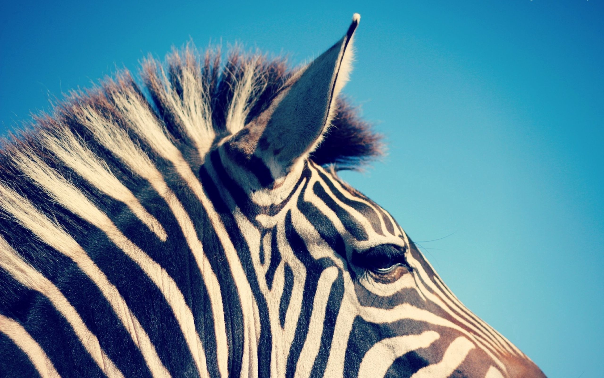 149821 download wallpaper Animals, Zebra, Head, Stripes, Streaks screensavers and pictures for free