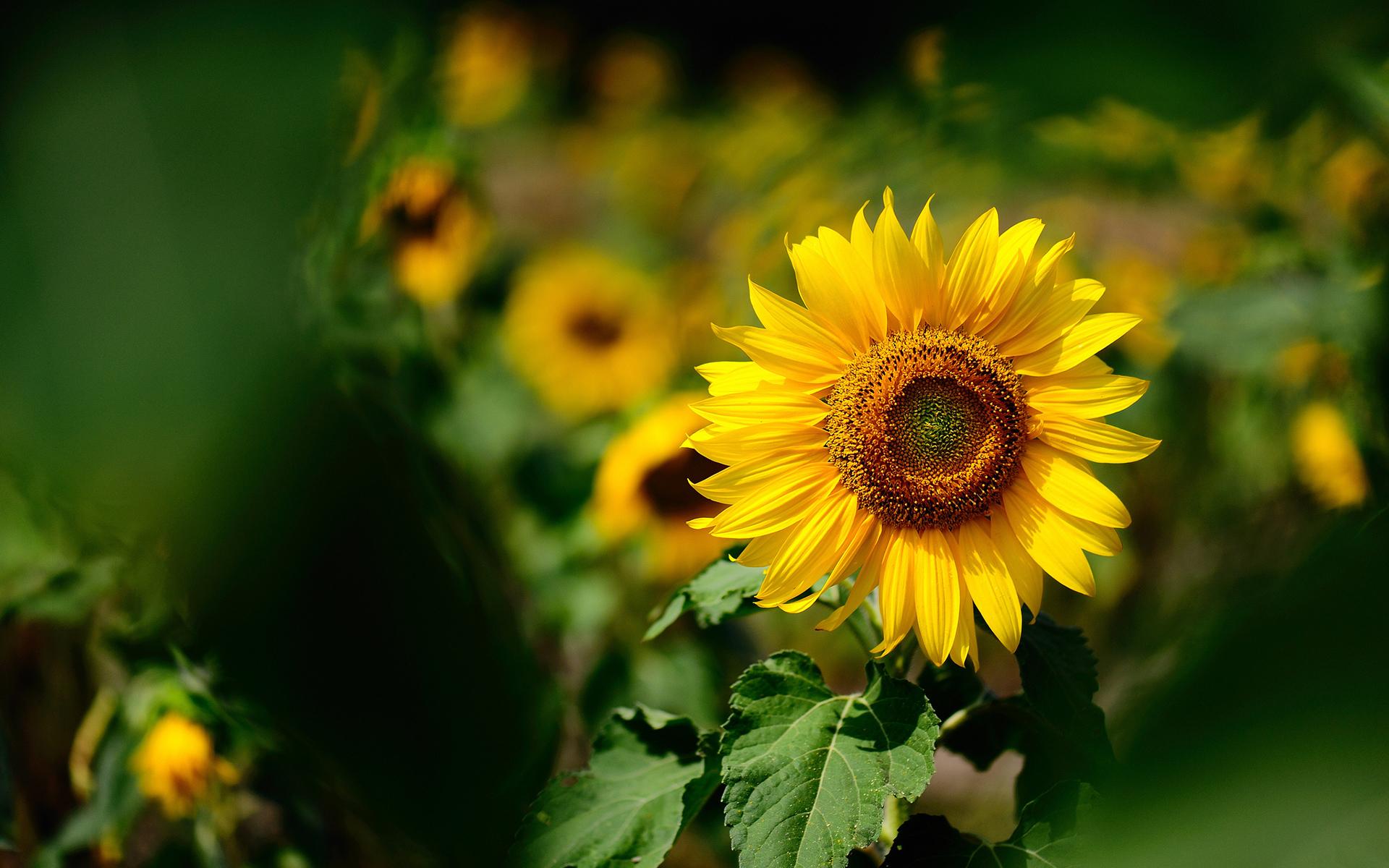 34545 скачать обои Растения, Цветы, Подсолнухи - заставки и картинки бесплатно