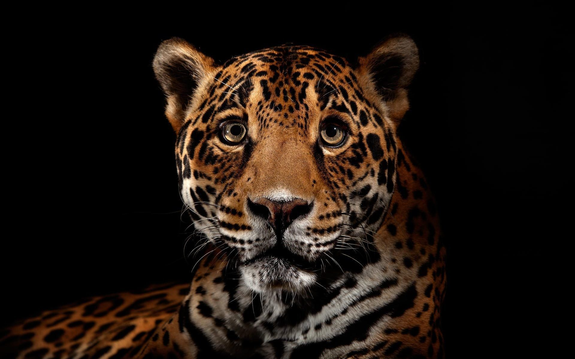 20072 download wallpaper Animals, Leopards screensavers and pictures for free
