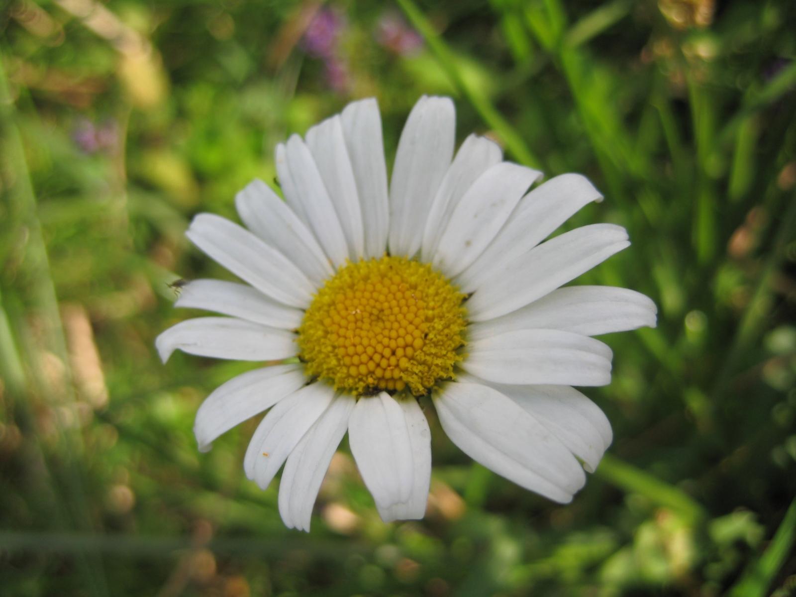 5787 скачать обои Растения, Цветы, Ромашки - заставки и картинки бесплатно