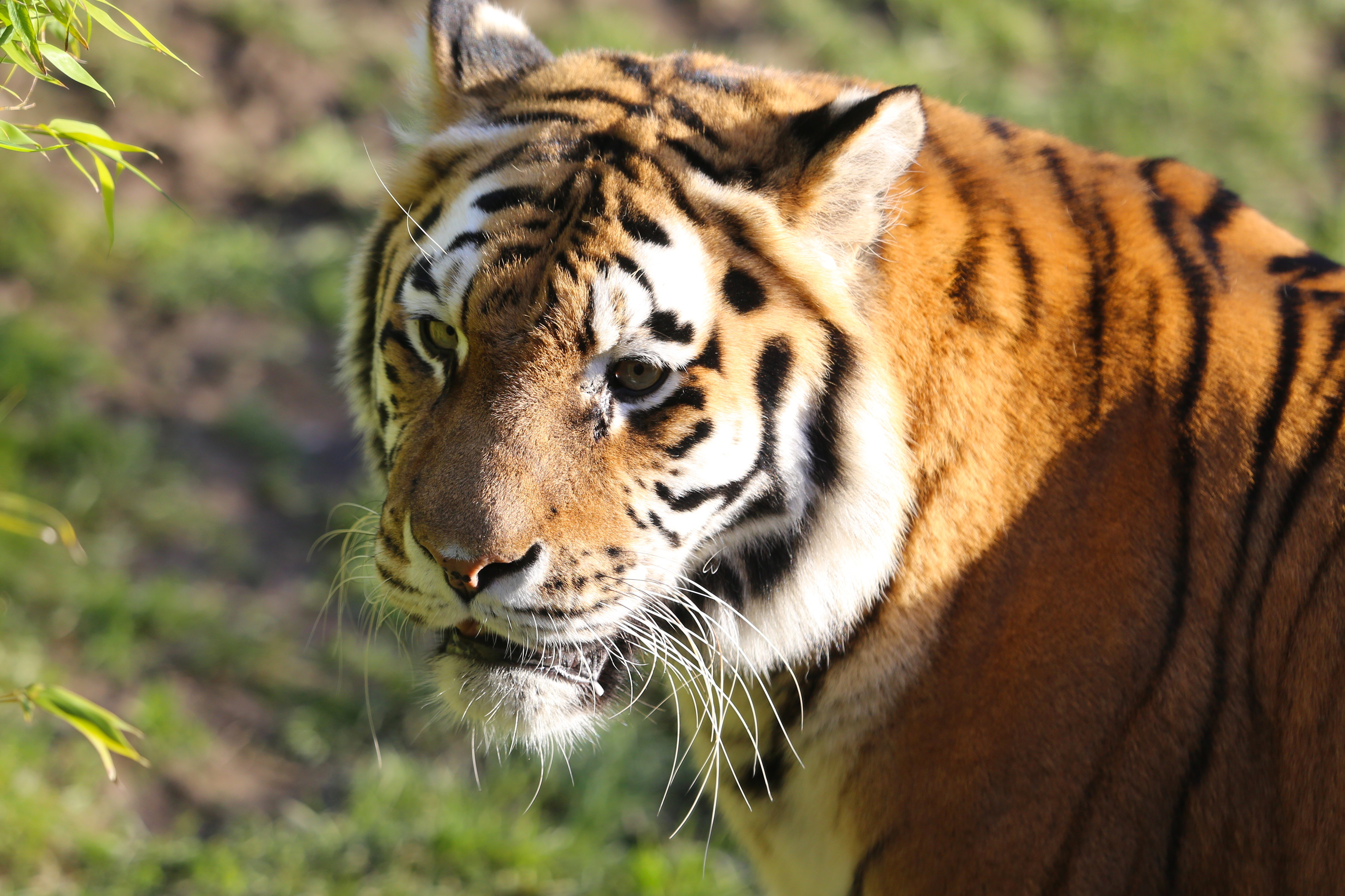 110216 download wallpaper Animals, Tiger, Big Cat, Sight, Opinion, Predator, Animal screensavers and pictures for free