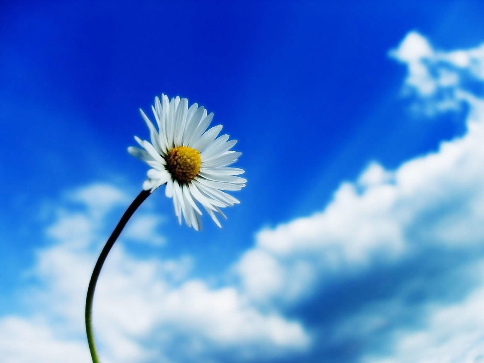 6668 скачать обои Растения, Цветы, Небо, Ромашки - заставки и картинки бесплатно