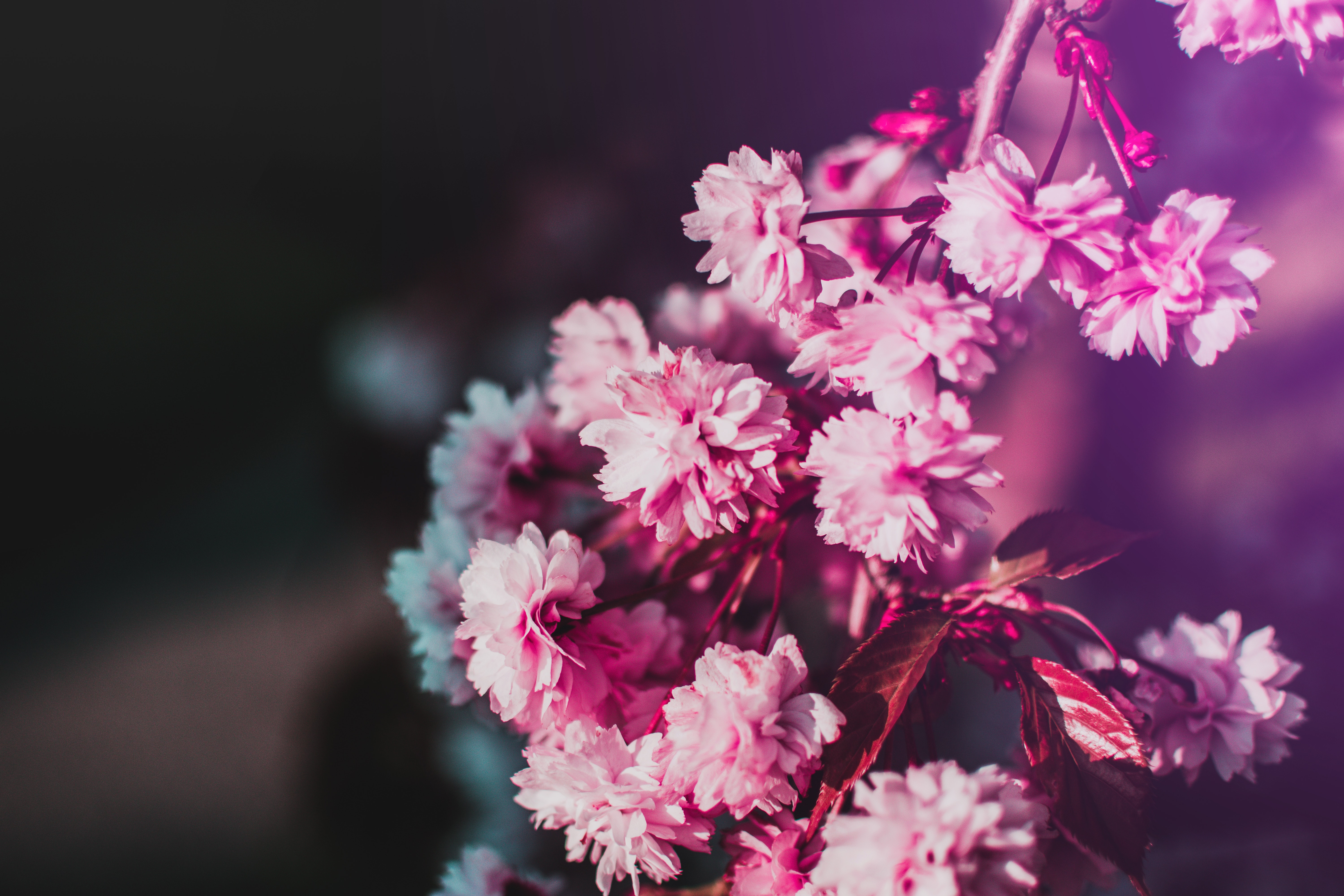 132913 Screensavers and Wallpapers Bloom for phone. Download Flowers, Pink, Blur, Smooth, Bloom, Flowering, Branch pictures for free
