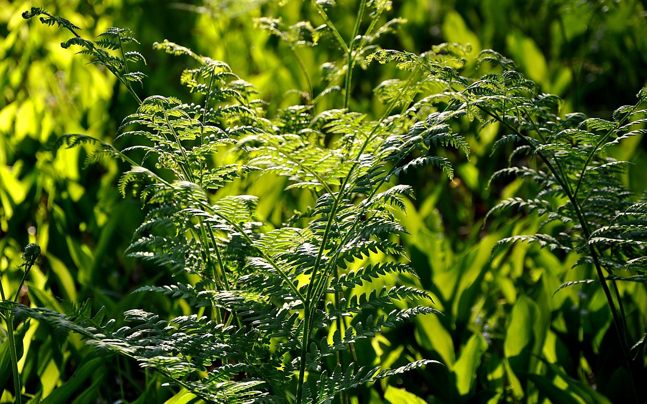 28809 Hintergrundbild herunterladen Pflanzen, Farne - Bildschirmschoner und Bilder kostenlos