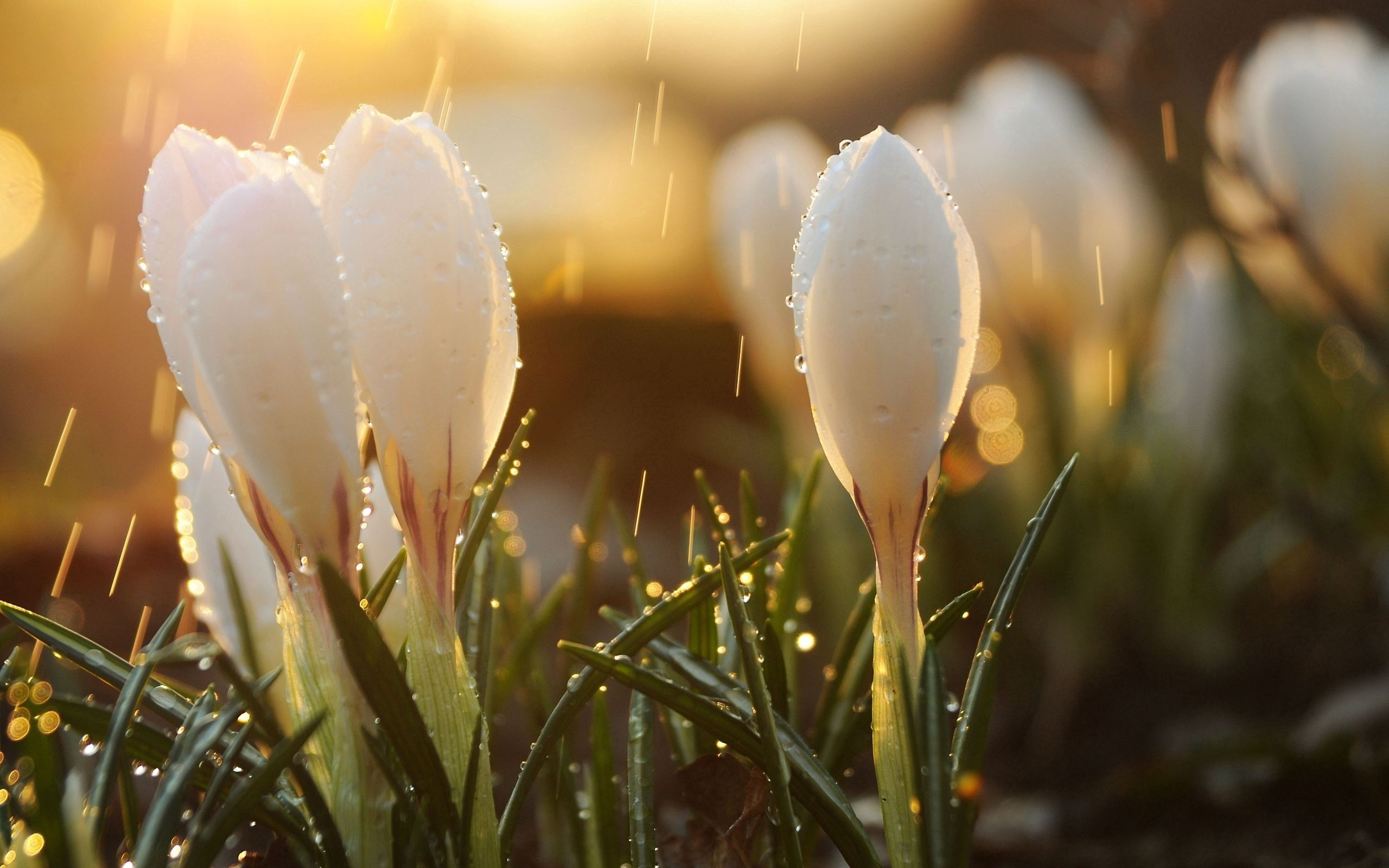 122998 download wallpaper Drops, Flowers, Sun, Snowdrops, Macro, Glare, Buds, Spring screensavers and pictures for free