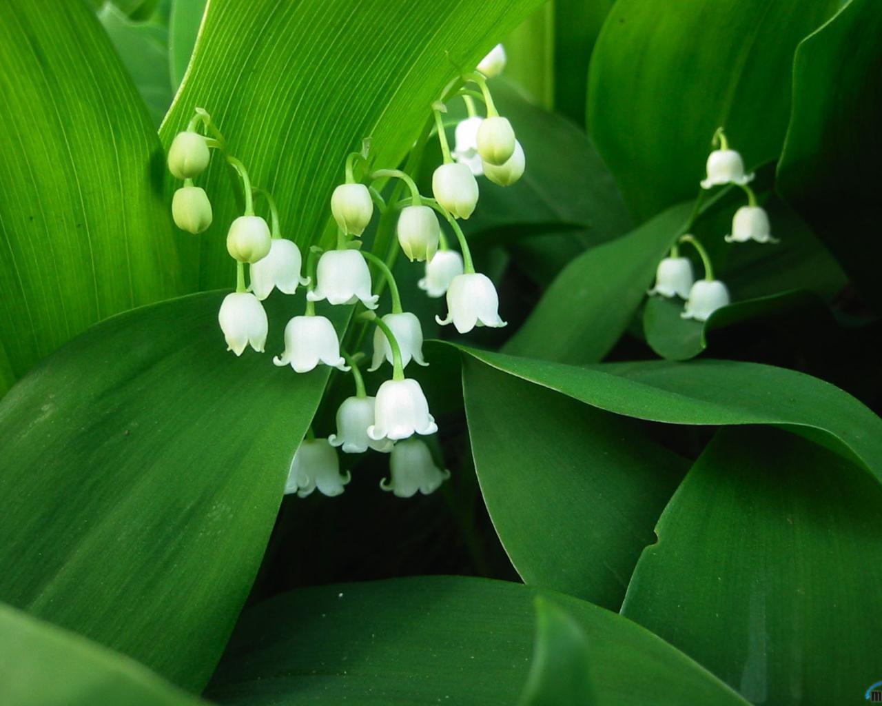 21920 скачать обои Растения, Цветы, Ландыши - заставки и картинки бесплатно
