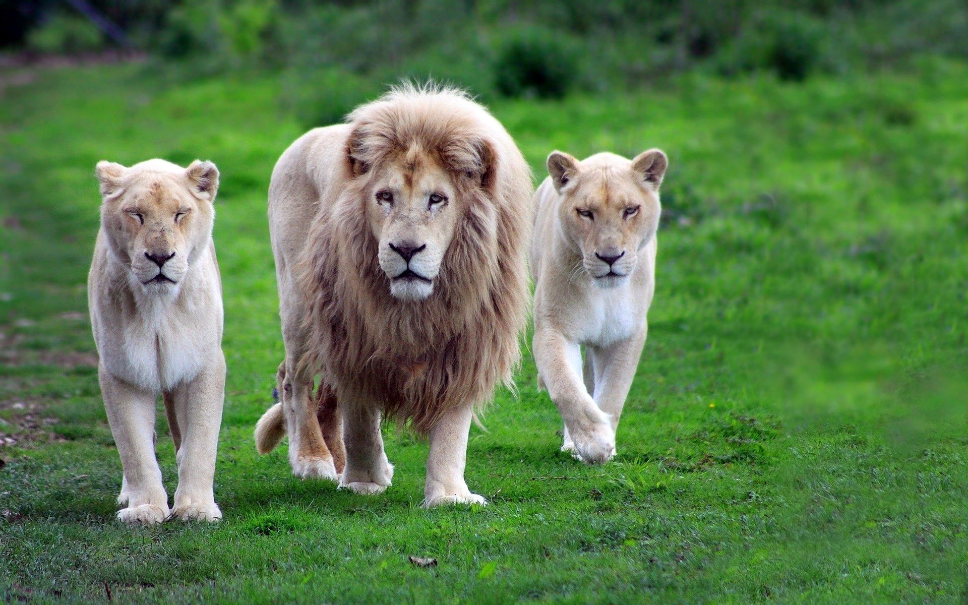 80978 download wallpaper Animals, Family, Grass, Stroll, Gait, Predators, Lions screensavers and pictures for free