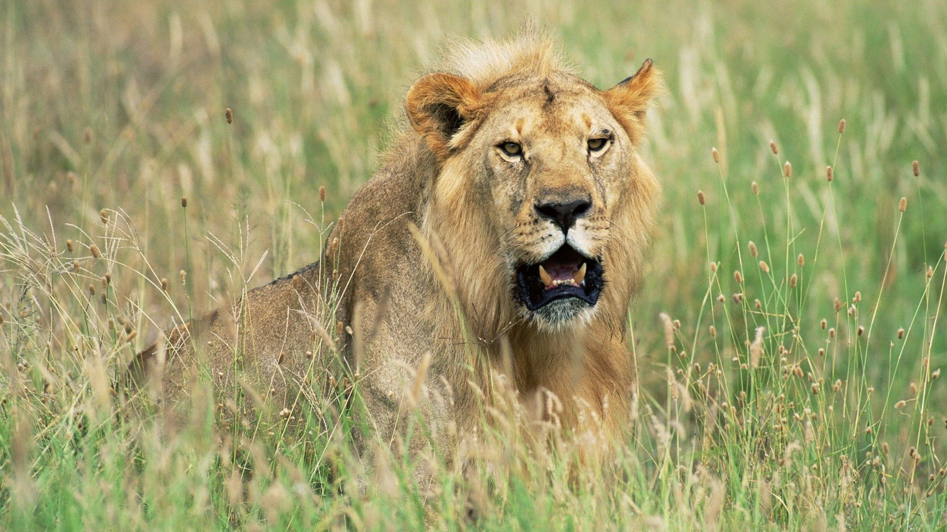 95043 download wallpaper Animals, Lion, Grass, Hunting, Hunt, Lurk, Hide screensavers and pictures for free