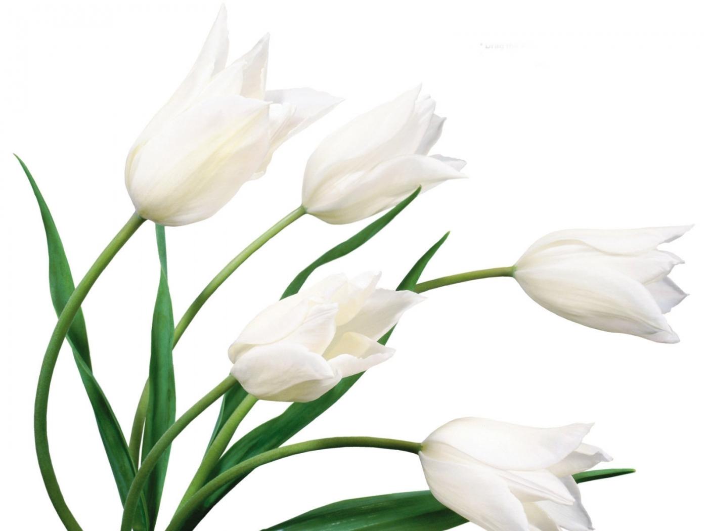 23672 скачать обои Растения, Цветы, Тюльпаны - заставки и картинки бесплатно
