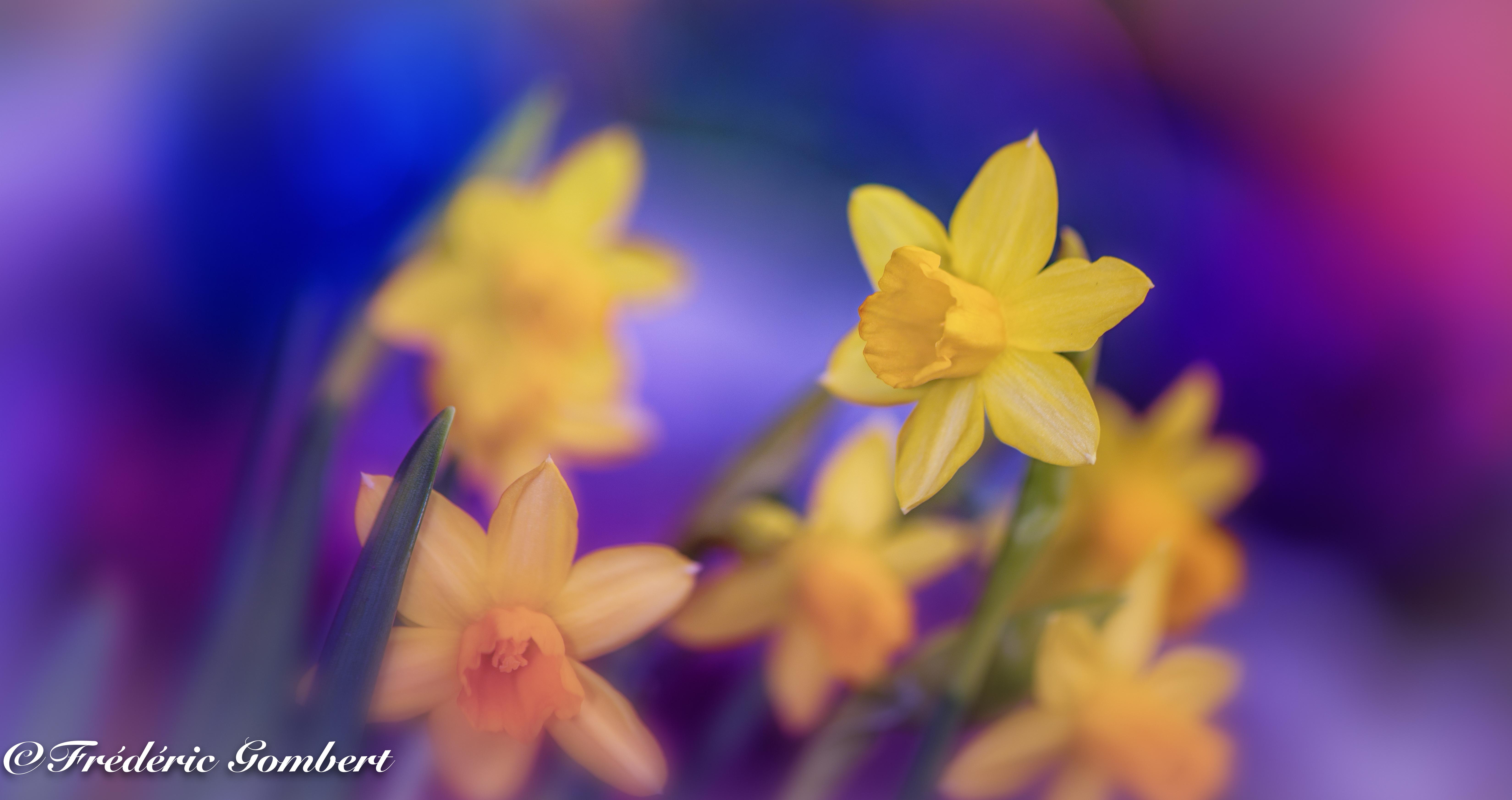 75446 Заставки и Обои Нарциссы на телефон. Скачать Цветы, Нарциссы, Макро, Желтый, Весна картинки бесплатно