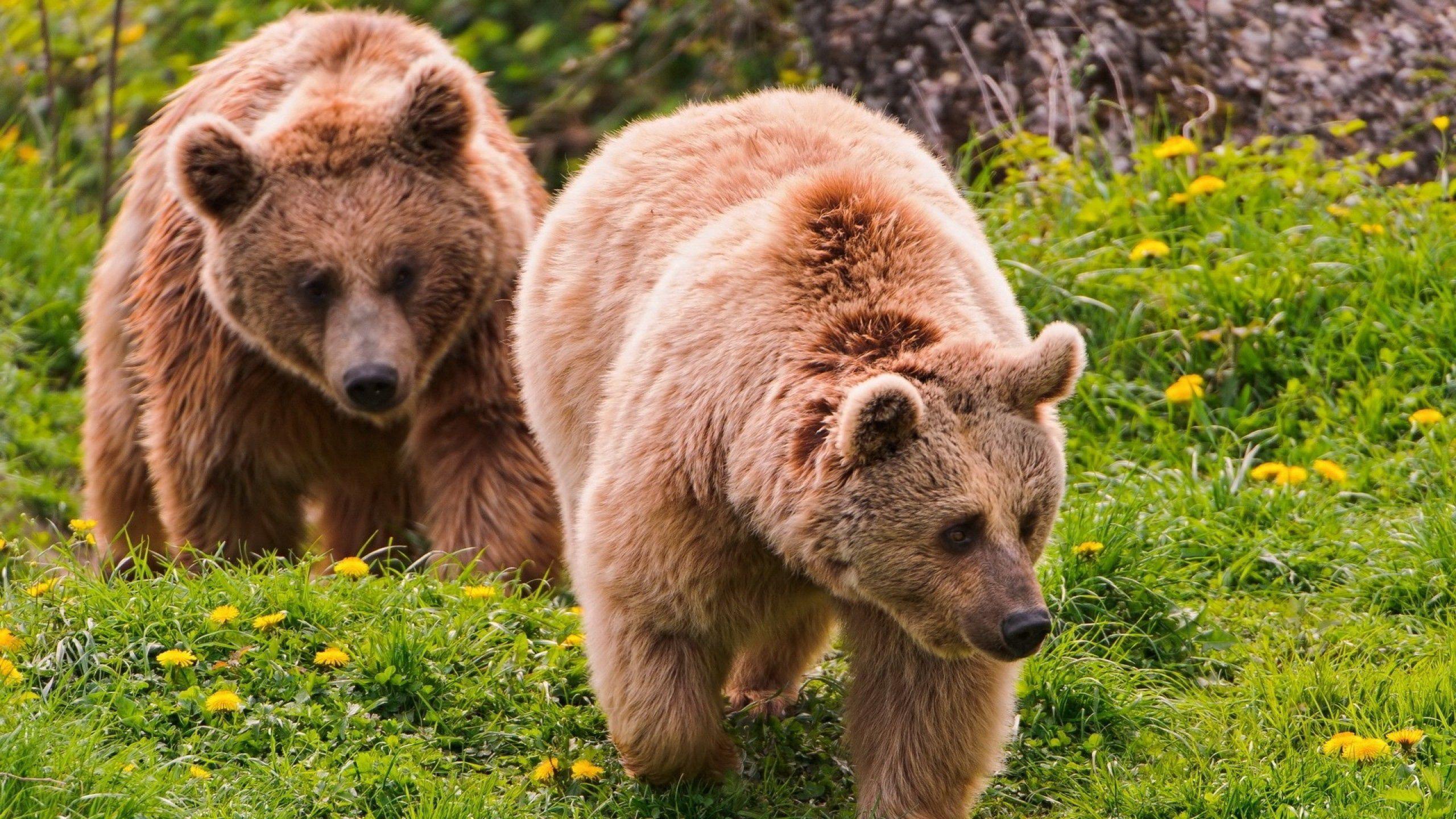 106455 Заставки и Обои Медведи на телефон. Скачать Животные, Трава, Медведи, Пара, Прогулка картинки бесплатно
