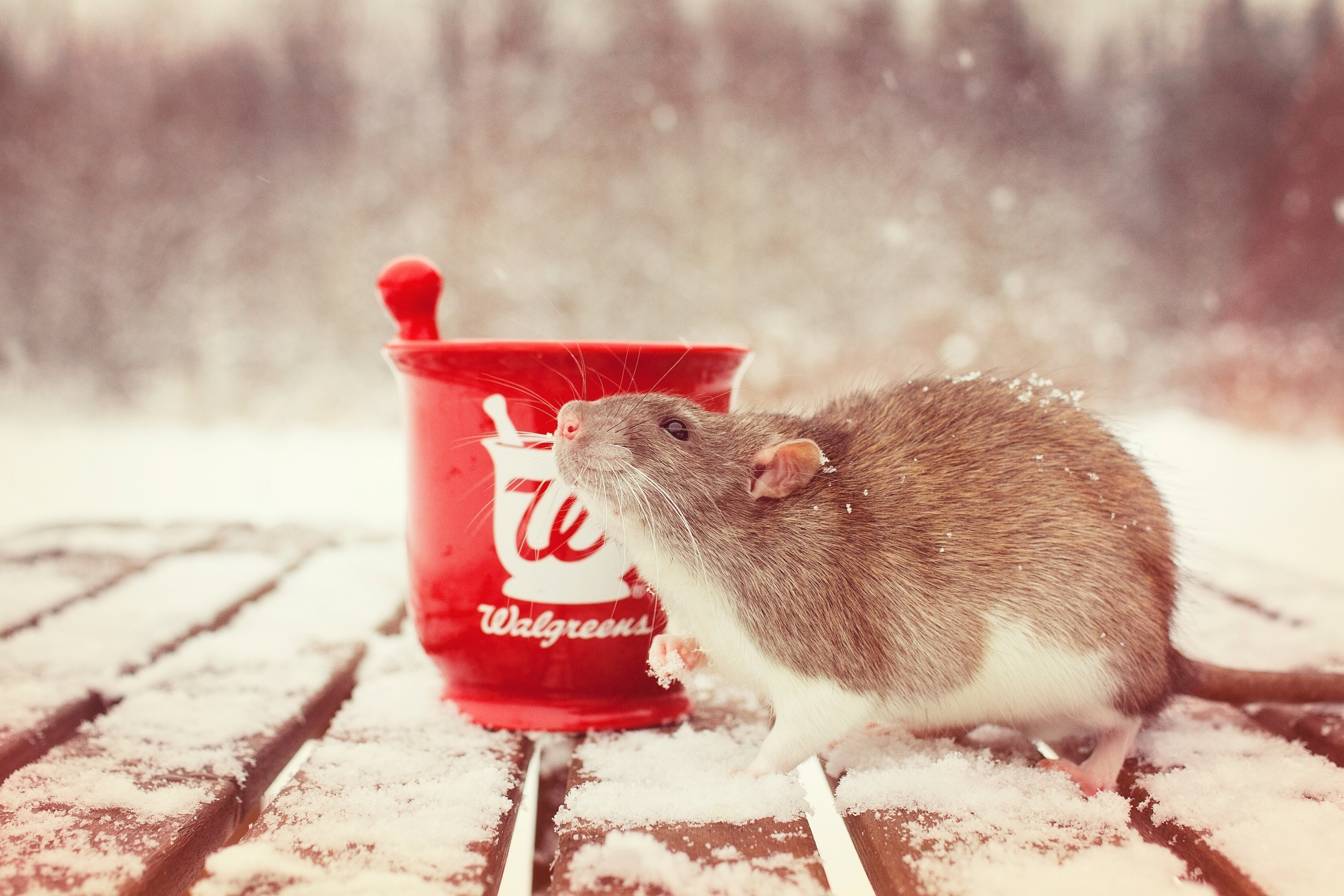 119883 download wallpaper Animals, Rat, Snow, Mortar, Rodent screensavers and pictures for free
