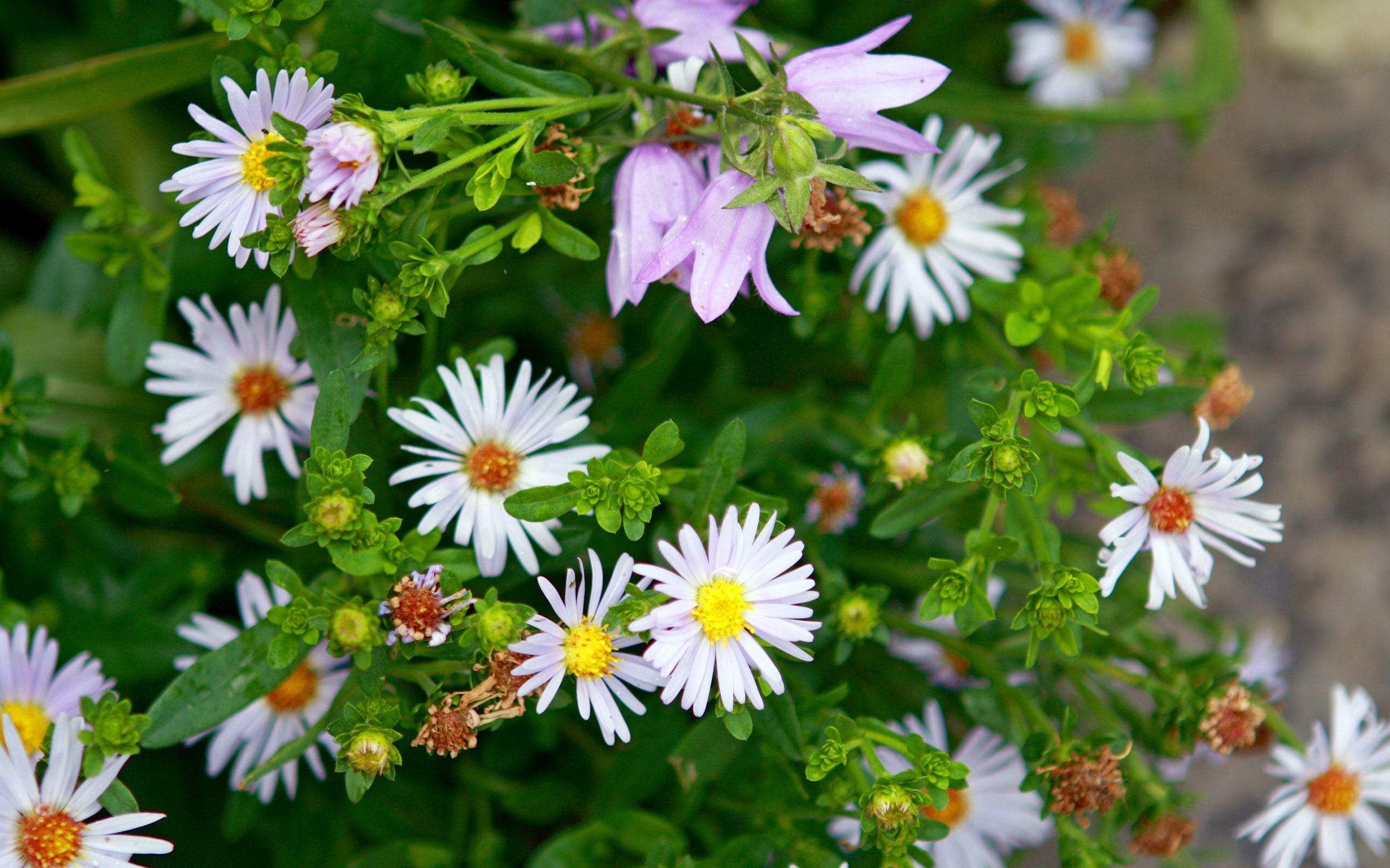 143649 скачать обои Цветы, Ромашки, Колокольчики, Зелень, Весна - заставки и картинки бесплатно