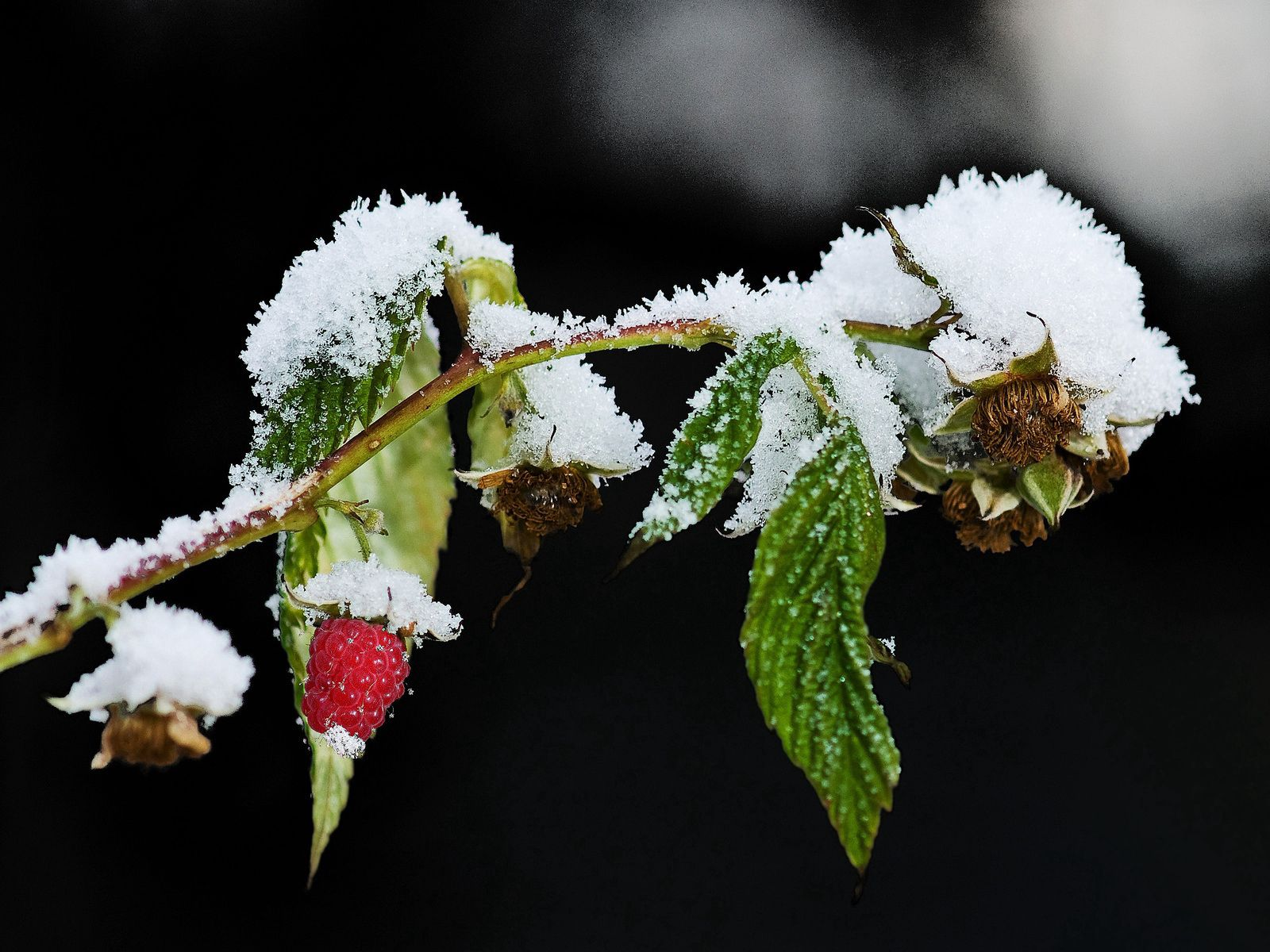 82837 download wallpaper Winter, Food, Snow, Raspberry, Branch screensavers and pictures for free