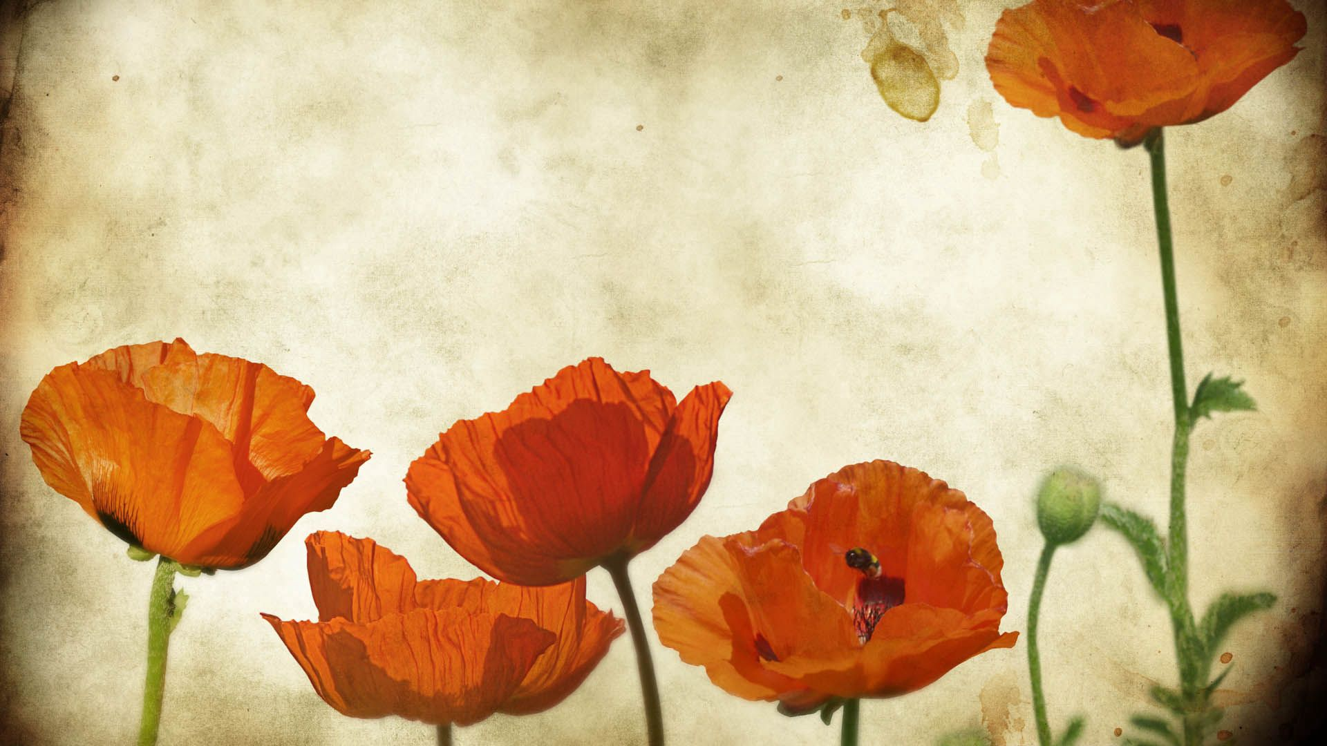 100428 Screensavers and Wallpapers Poppies for phone. Download Flowers, Background, Poppies pictures for free