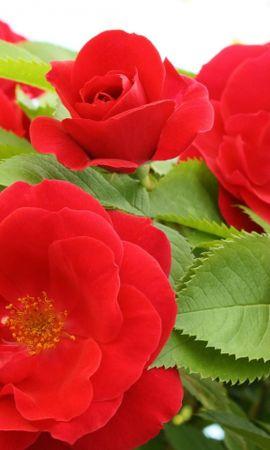 15733 descargar fondo de pantalla Plantas, Flores, Roses: protectores de pantalla e imágenes gratis