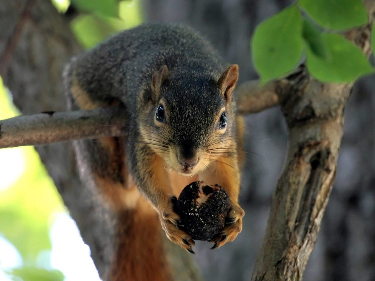 47299 download wallpaper Animals, Squirrel screensavers and pictures for free
