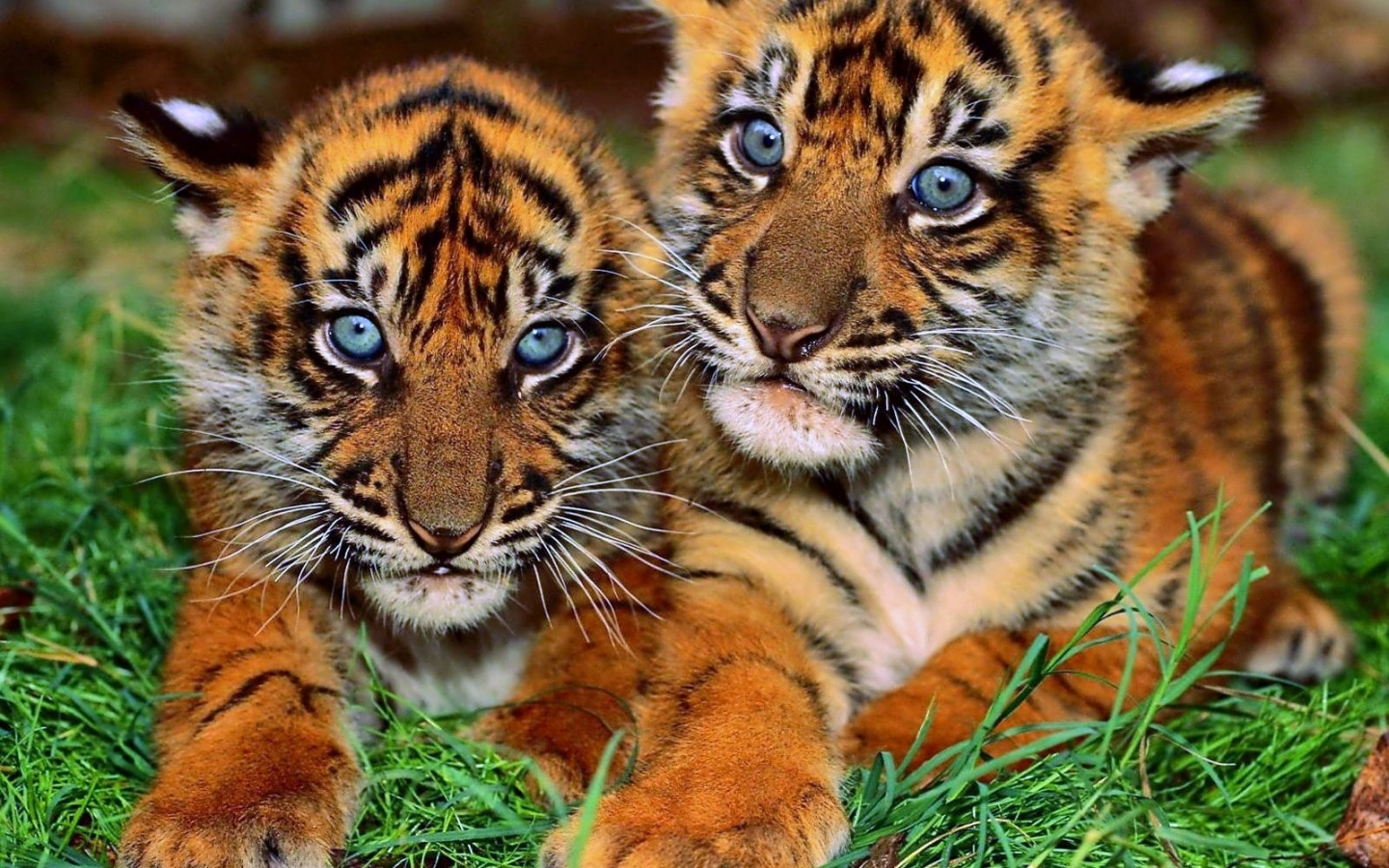 48283 download wallpaper Animals, Tigers screensavers and pictures for free