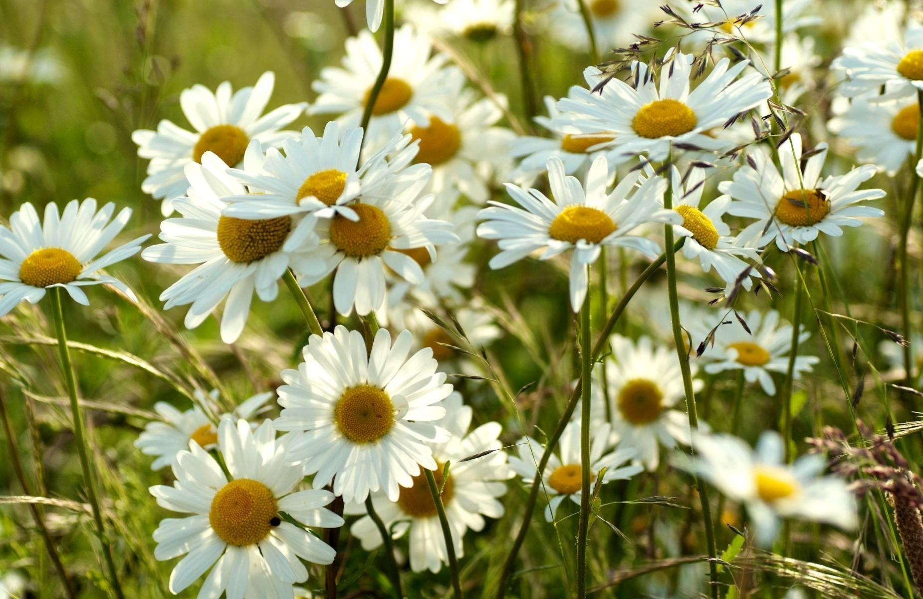 77698 download wallpaper Flowers, Camomile, Meadow, Blur, Smooth, Summer screensavers and pictures for free