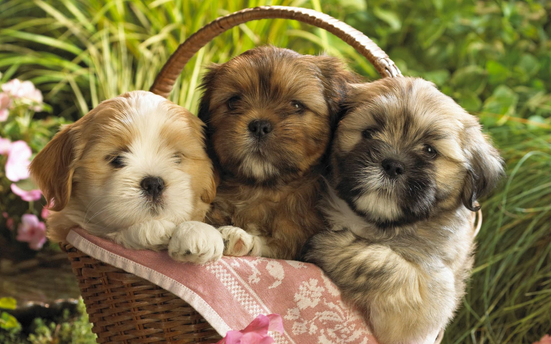 138526 download wallpaper Animals, Grass, Sit, Basket, Three, Puppies screensavers and pictures for free