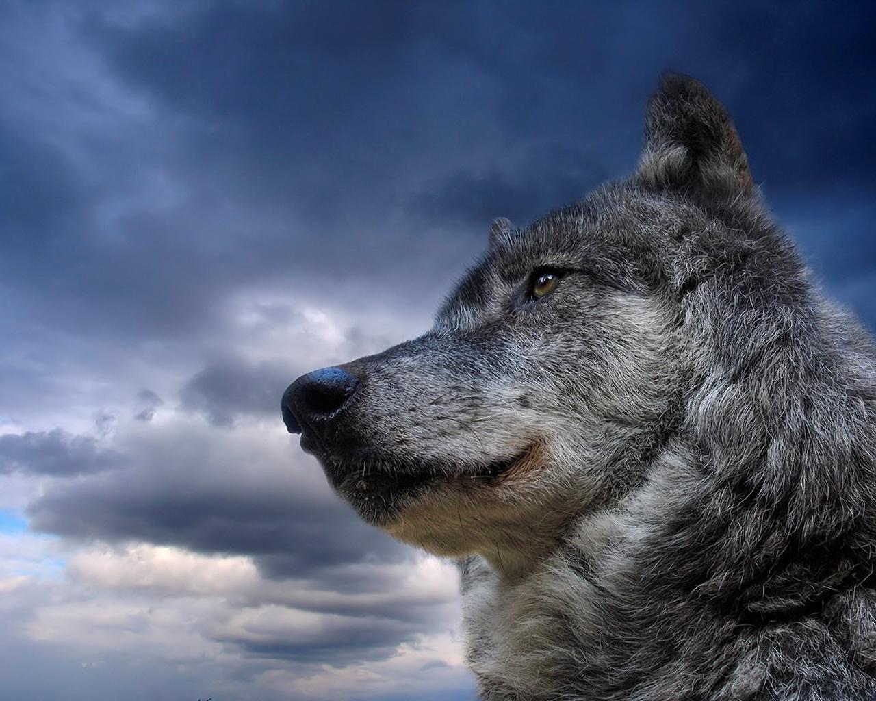 2395 скачать обои Животные, Волки, Небо - заставки и картинки бесплатно