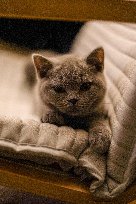 88439 Hintergrundbild herunterladen Tiere, Katze, Kätzchen, Haustier, Britisch Kurzhaar, Britisches Kurzhaar - Bildschirmschoner und Bilder kostenlos