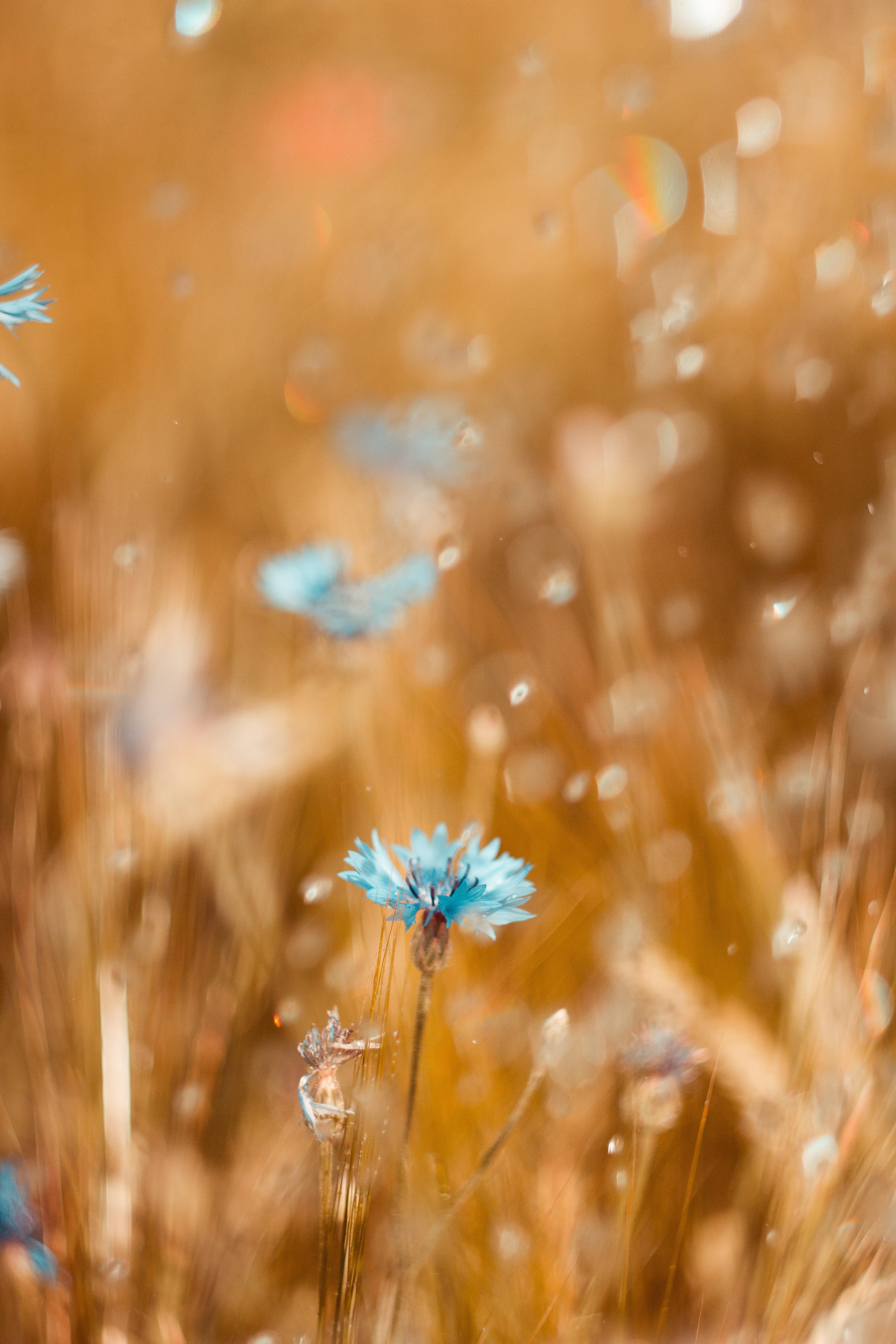 151083 скачать обои Цветок, Макро, Размытость, Голубой, Поле, Василек - заставки и картинки бесплатно