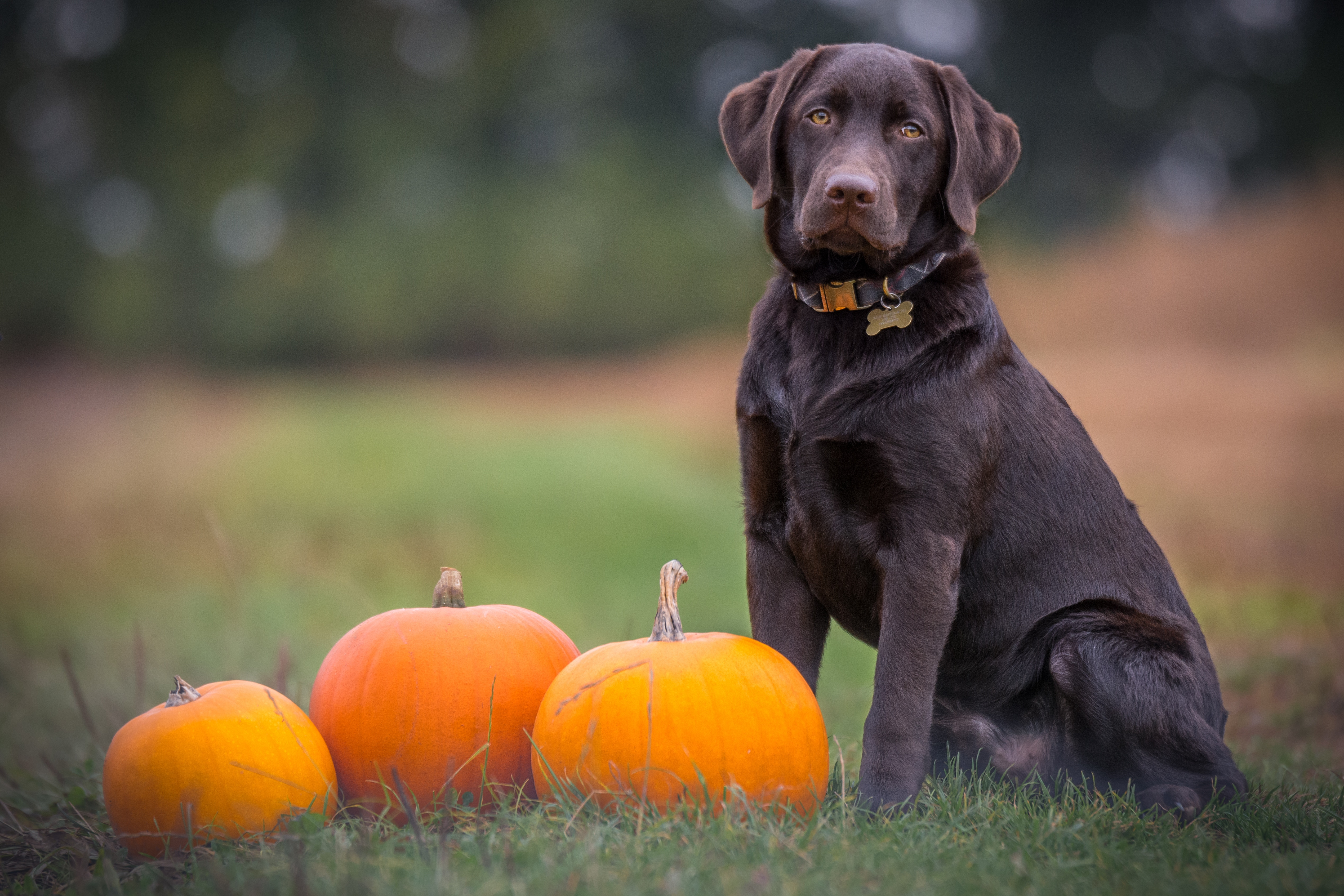 51948 download wallpaper Animals, Pumpkin, Dog, Labrador, Is Sitting, Sits screensavers and pictures for free