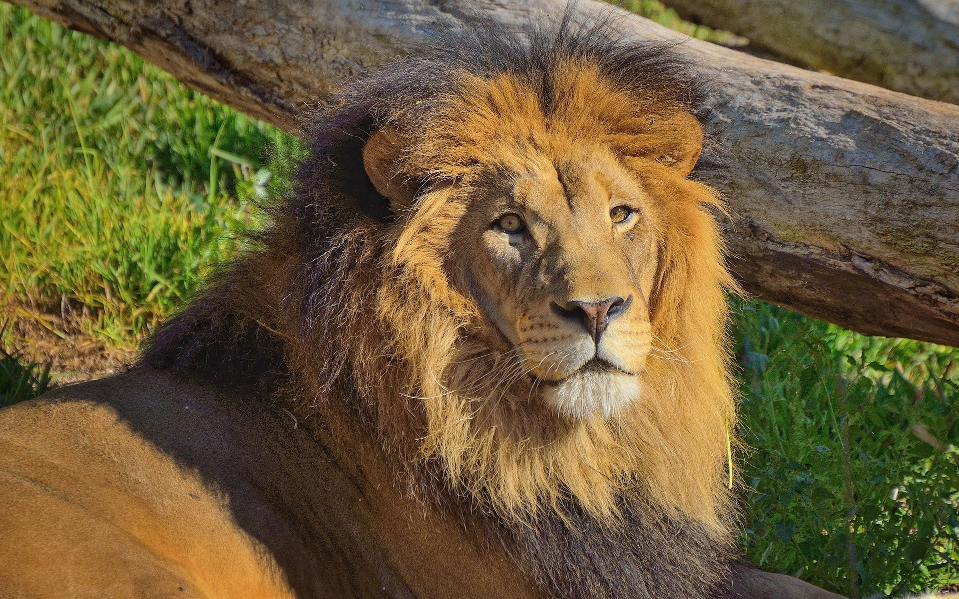 118039 download wallpaper Animals, Big Cat, Lion, Mane, Grass screensavers and pictures for free