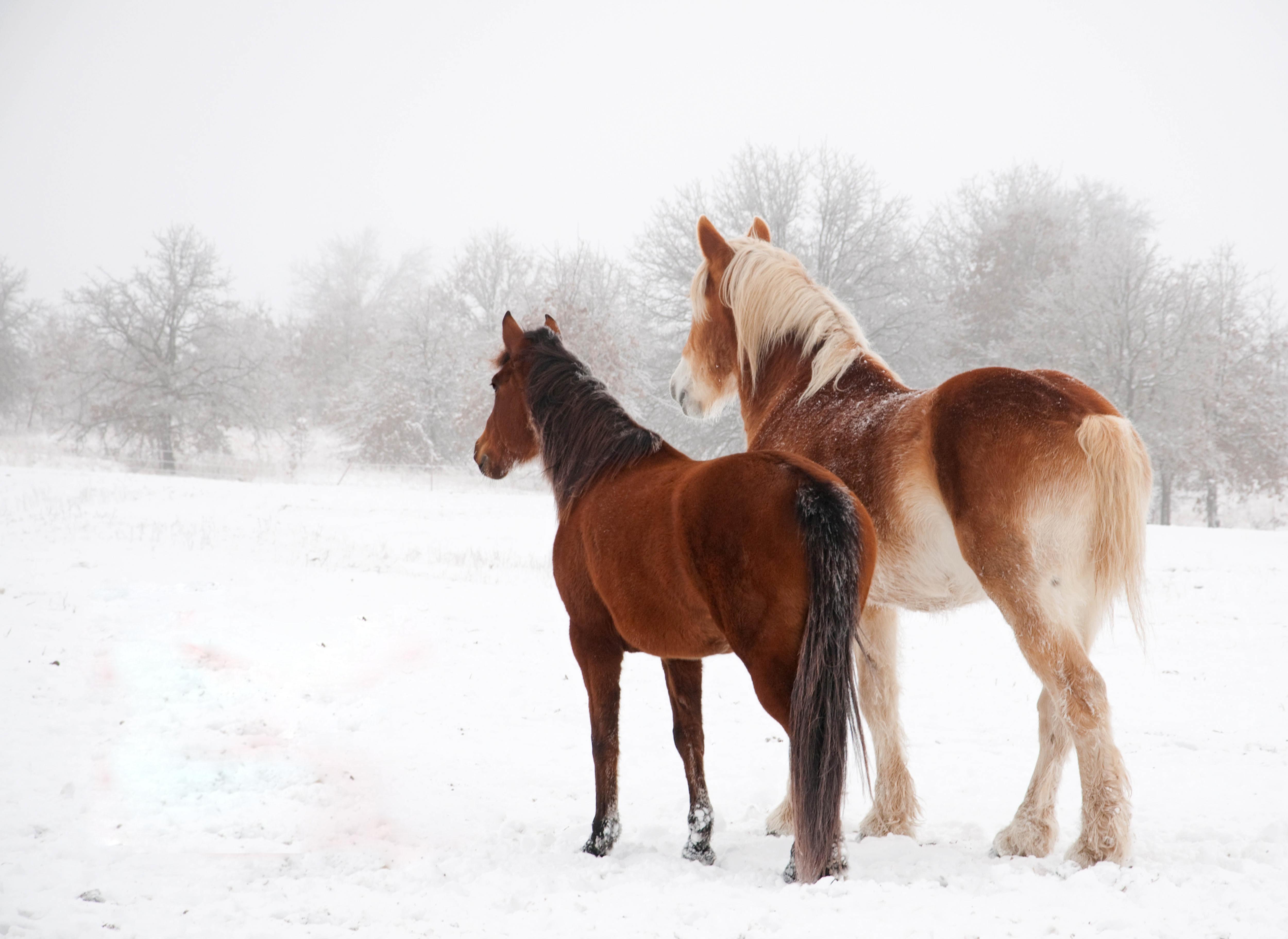 137264 скачать обои Животные, Лошади, Зима, Снег, Пара - заставки и картинки бесплатно