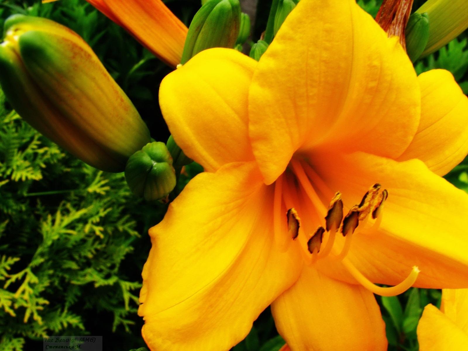 Скачать картинку Лилии, Растения, Цветы в телефон бесплатно.