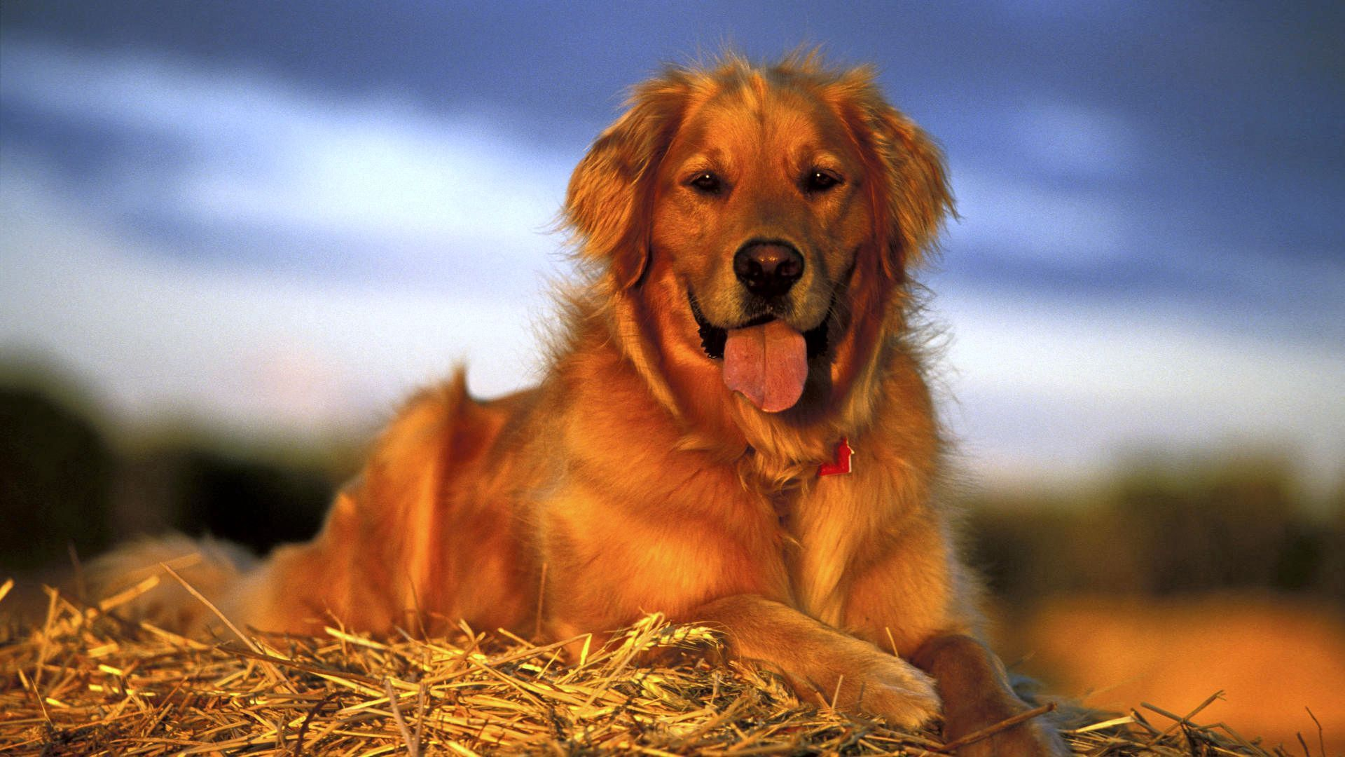 54240 download wallpaper Animals, Dog, Labrador, To Lie Down, Lie, Hay, Relaxation, Rest screensavers and pictures for free