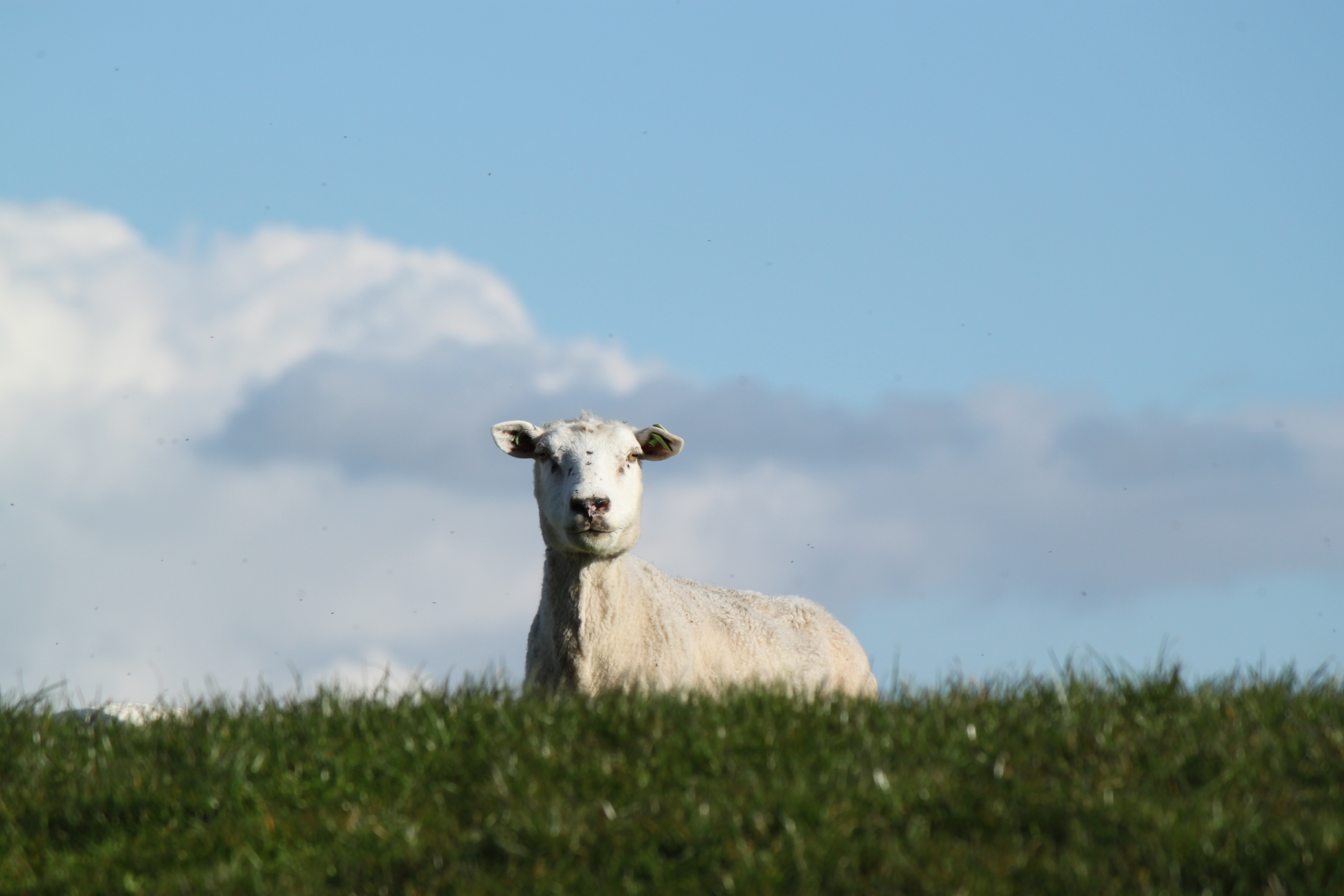 58662 Screensavers and Wallpapers Sheep for phone. Download Animals, Meadow, Sheep, Farm, Pasture pictures for free