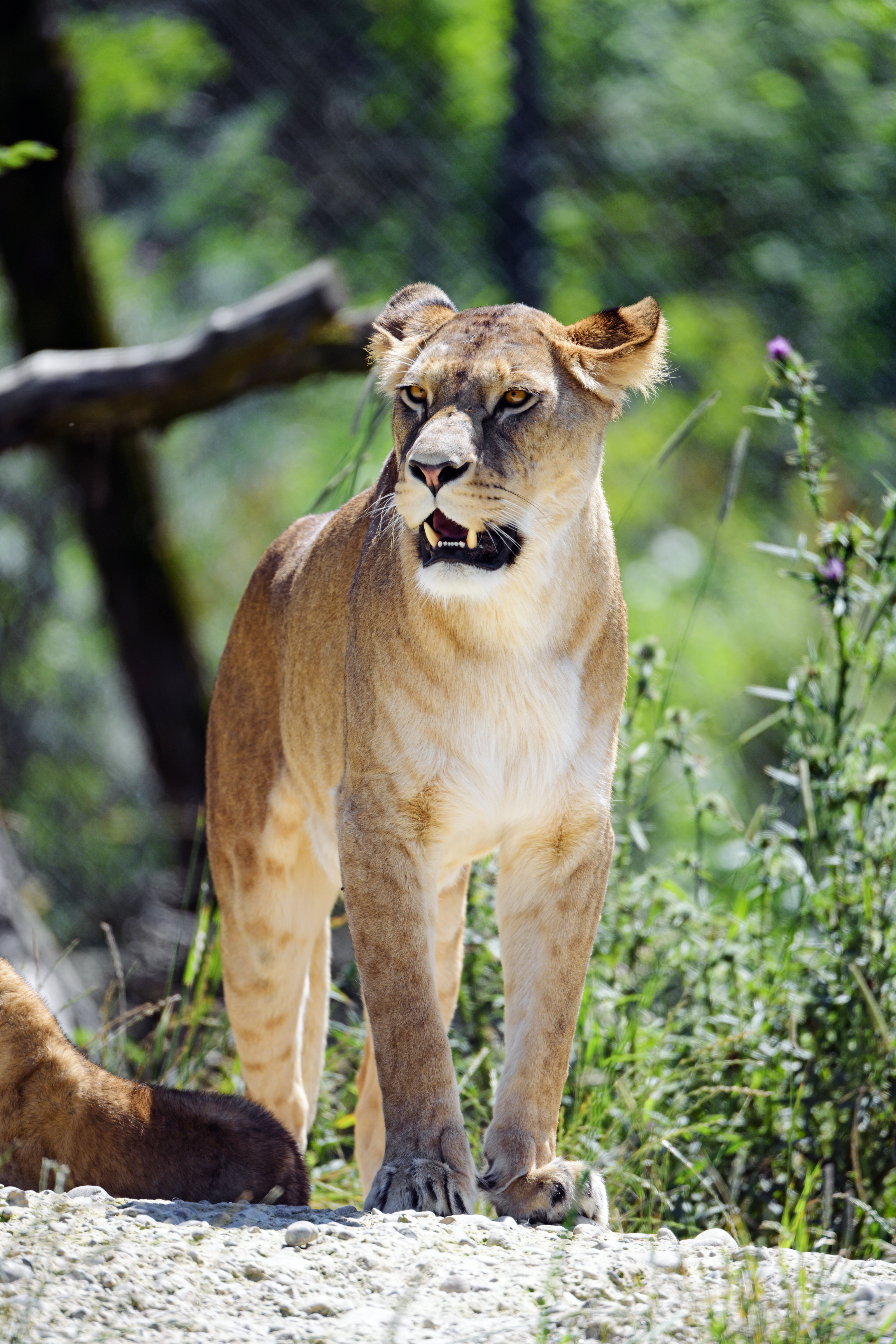 61358 download wallpaper Animals, Lioness, Grin, Predator, Big Cat screensavers and pictures for free