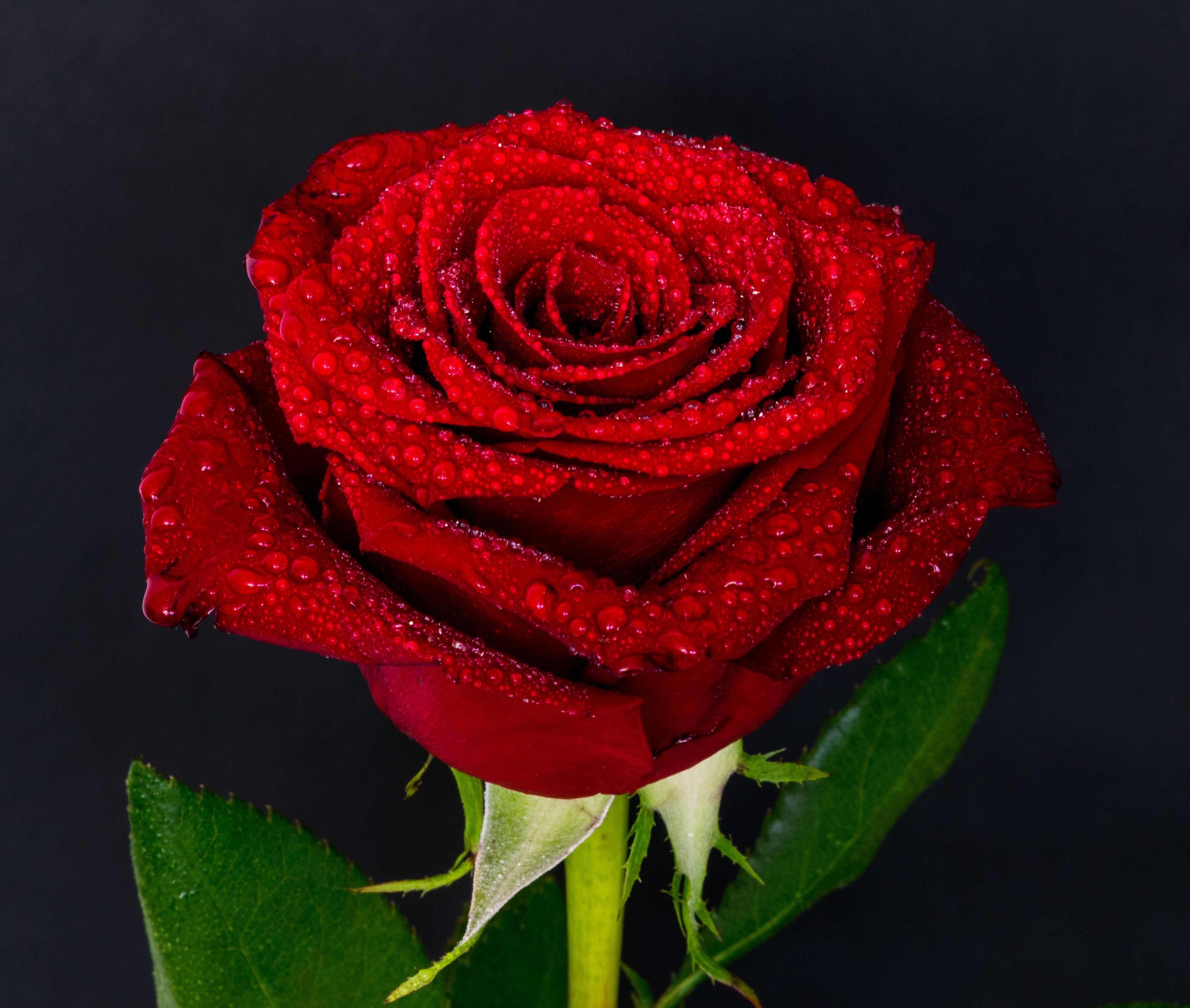 55556 скачать обои Роза, Цветы, Капли, Бутон, Красный - заставки и картинки бесплатно