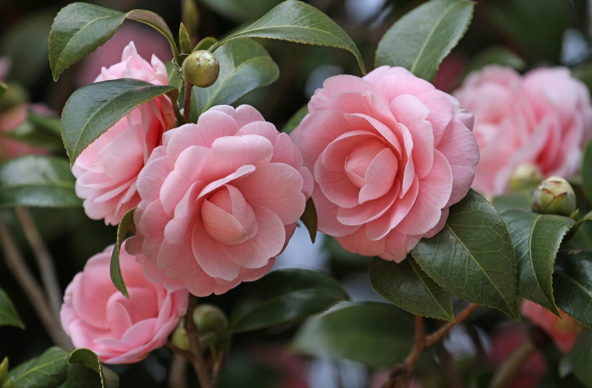 143540 скачать обои Цветы, Камелия, Садовые, Бутоны, Стебли, Листья, Крупный План - заставки и картинки бесплатно
