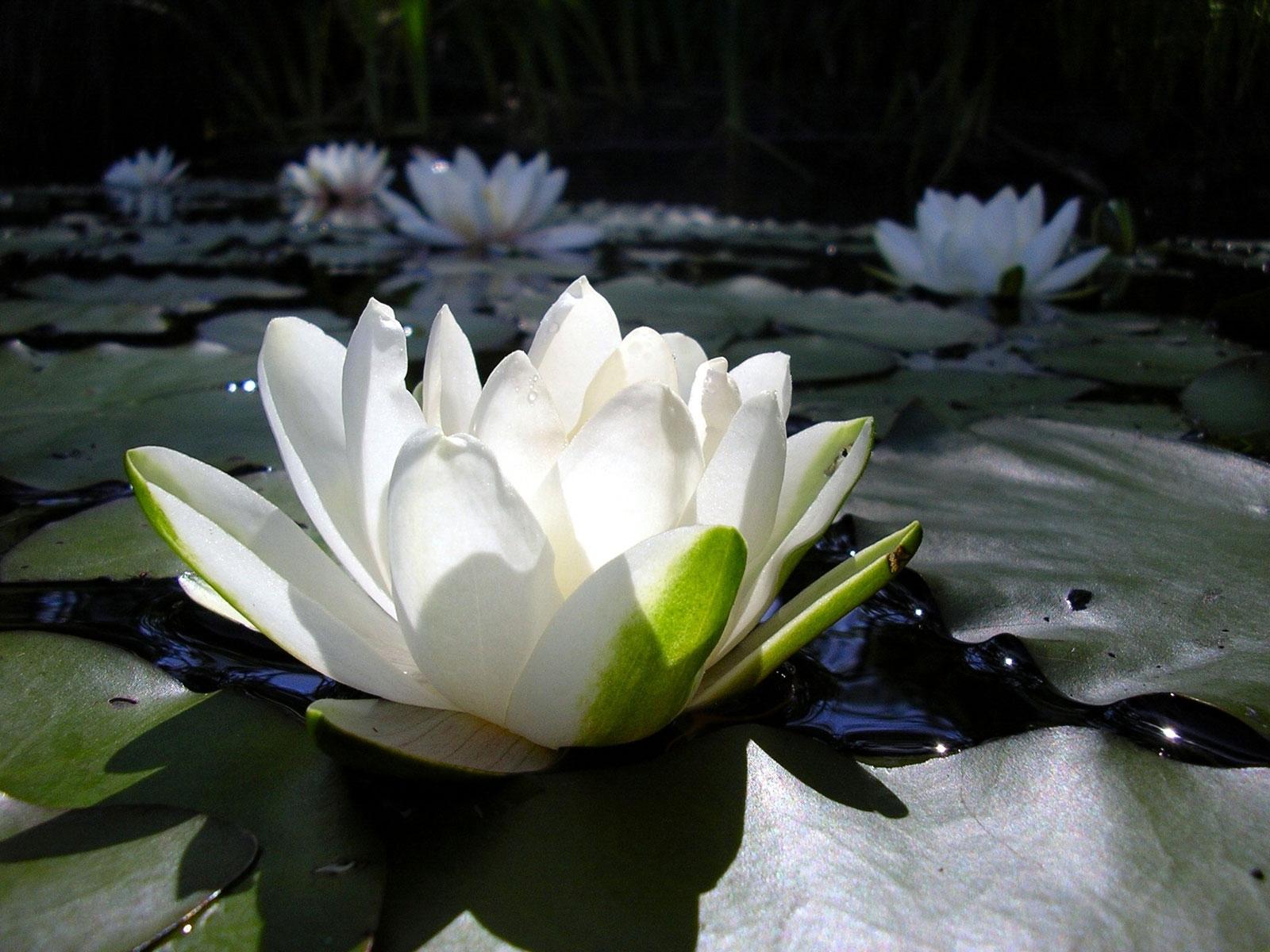 7366 скачать обои Растения, Цветы, Лилии - заставки и картинки бесплатно