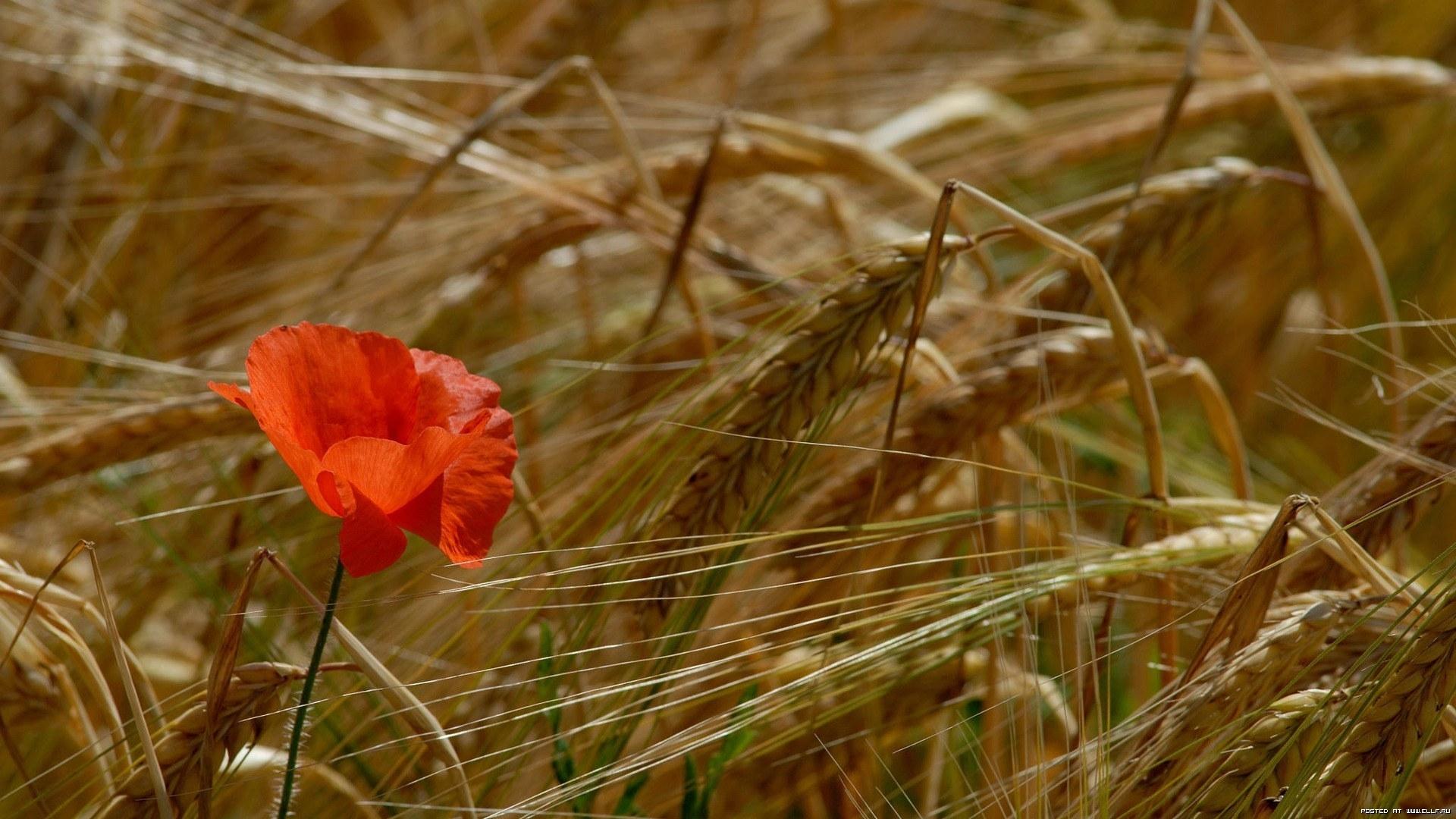24732 скачать обои Растения, Маки, Пшеница - заставки и картинки бесплатно