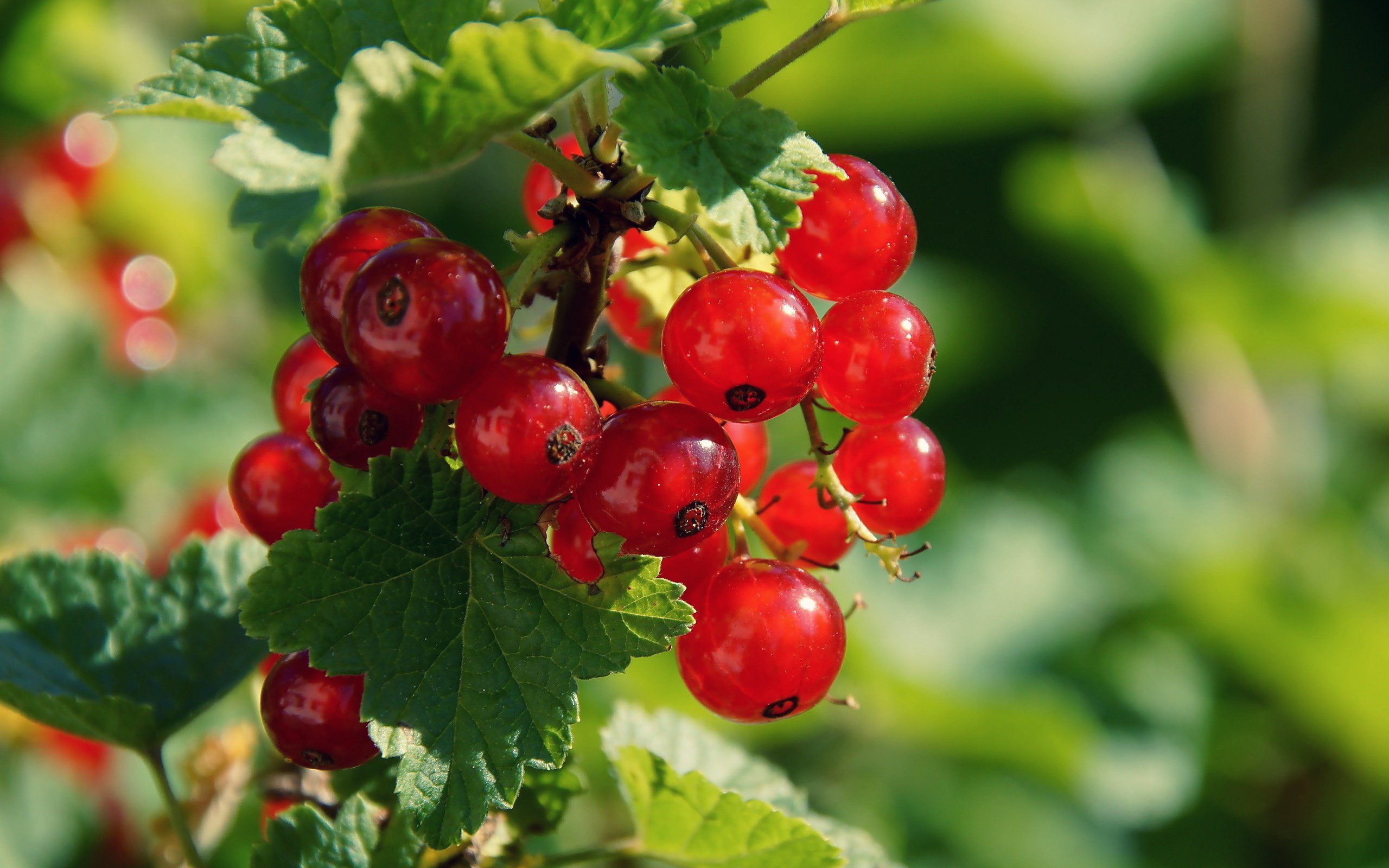 38538 download wallpaper Plants, Berries screensavers and pictures for free