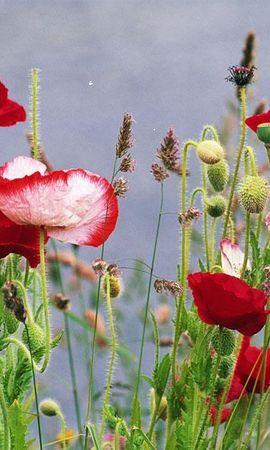 31466 скачать обои Растения, Цветы, Маки - заставки и картинки бесплатно