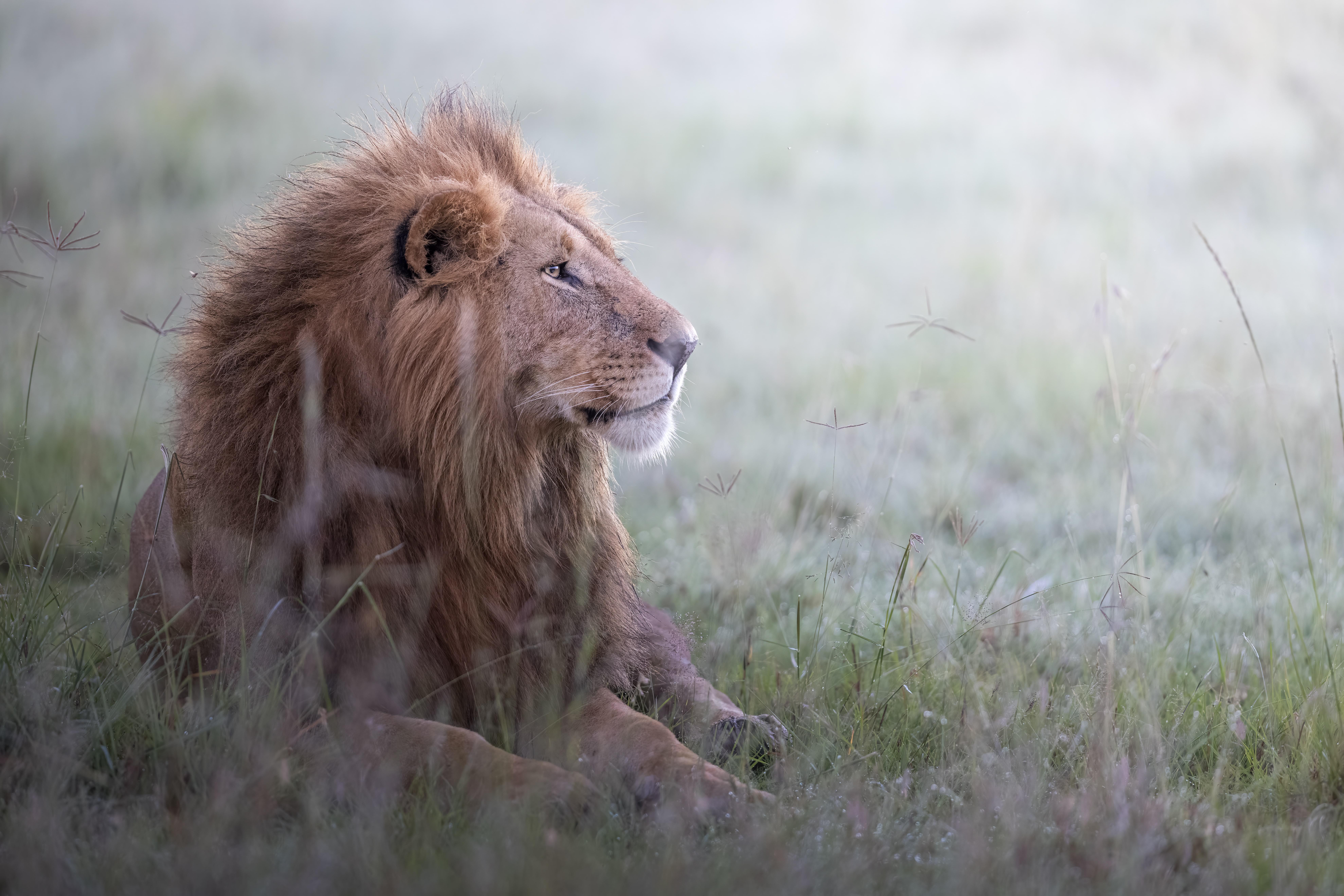 74422 Protetores de tela e papéis de parede Rei Das Feras em seu telefone. Baixe Animais, Leão, Um Leão, Predator, Predador, Animais Selvagens, Vida Selvagem, Animal, Rei Das Feras, Rei Das Bestas fotos gratuitamente