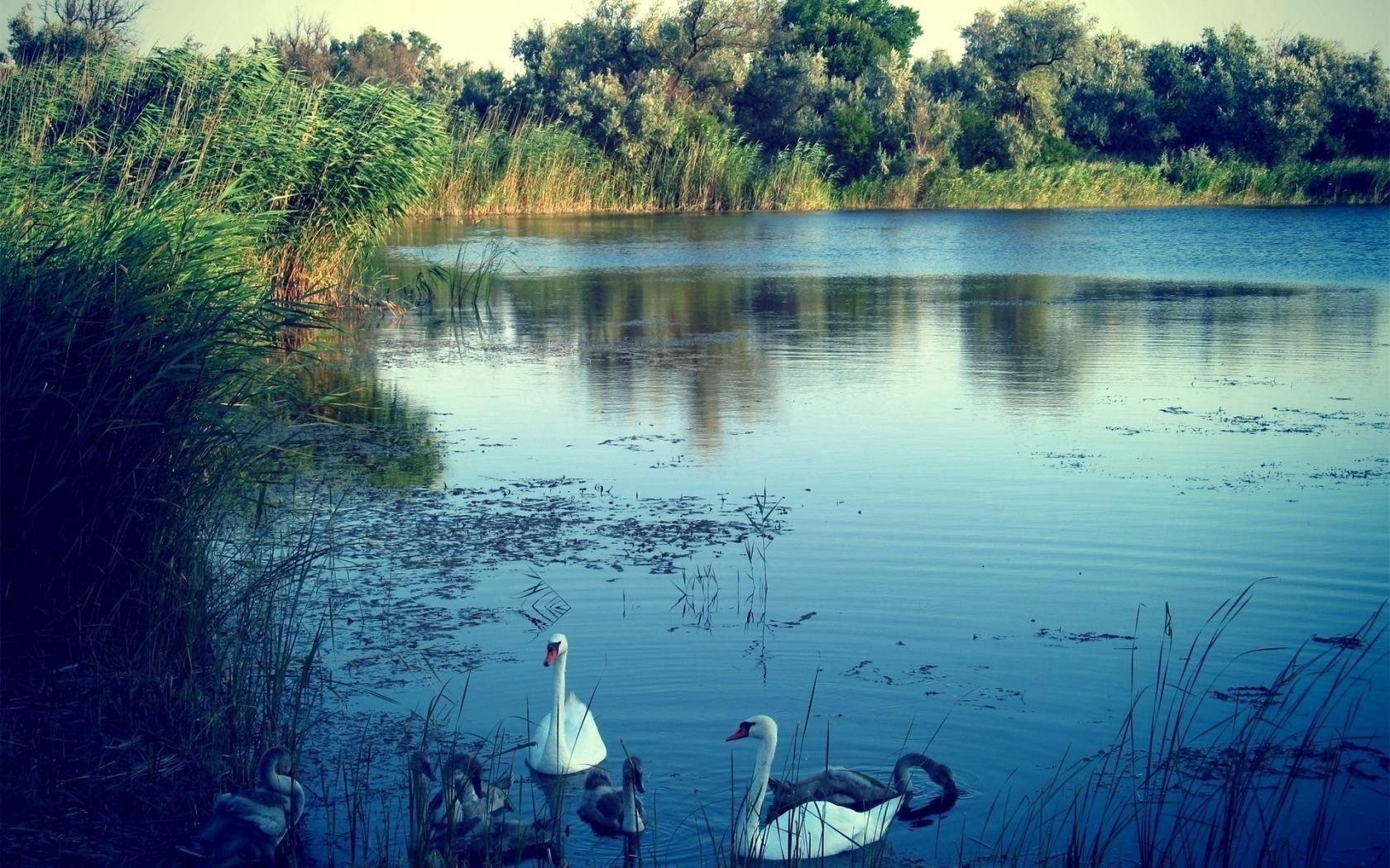 74424 Hintergrundbild herunterladen Tiere, Natur, Swans, See - Bildschirmschoner und Bilder kostenlos