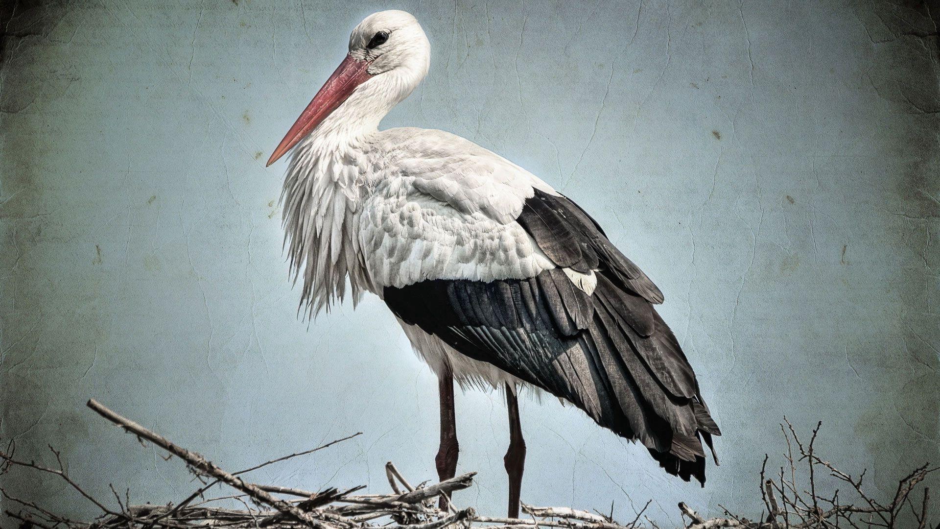 71857 Hintergrundbild herunterladen Tiere, Feder, Schnabel, Geäst, Zweige, Nest, Storch - Bildschirmschoner und Bilder kostenlos