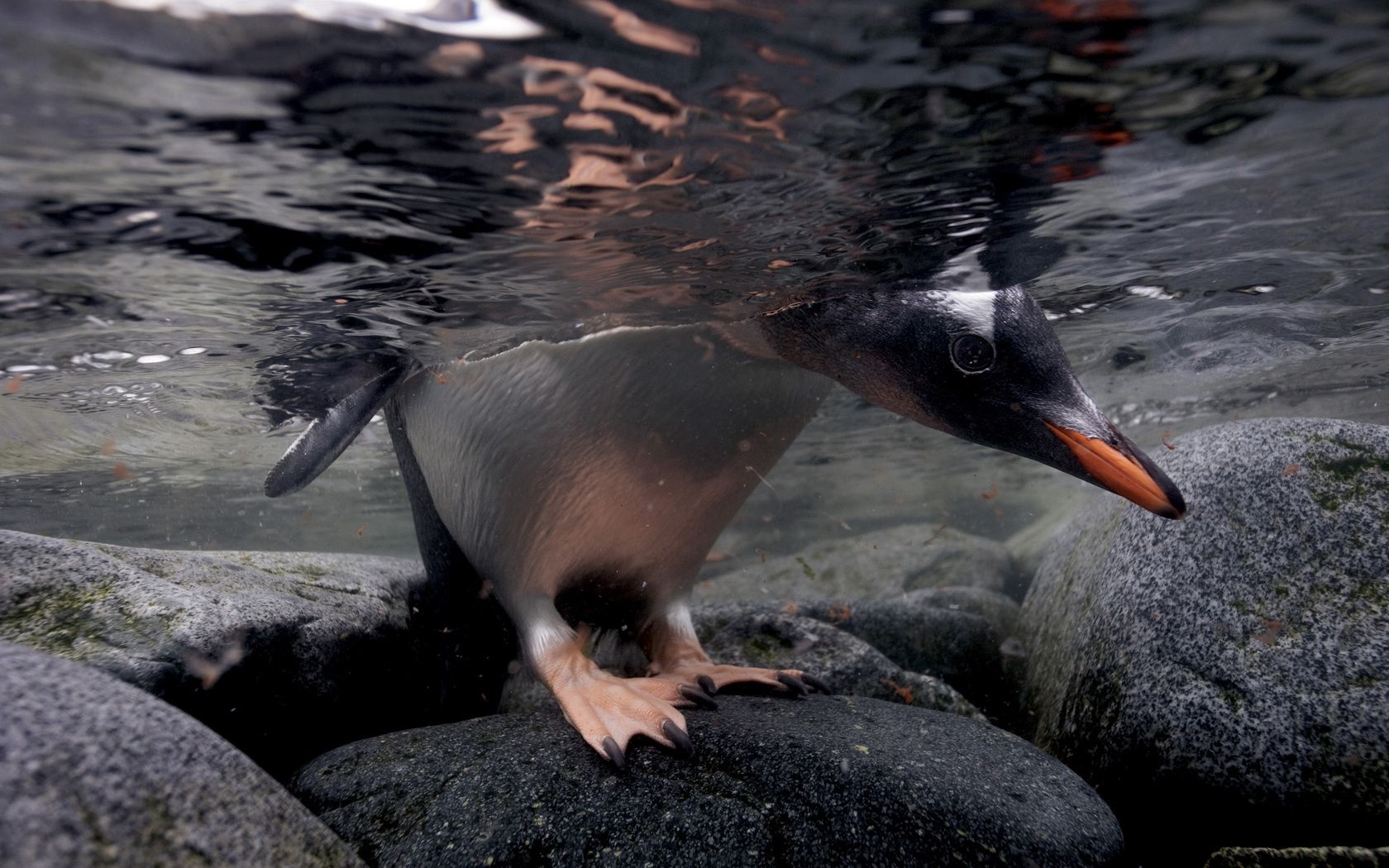 101070 Screensavers and Wallpapers Stroll for phone. Download Animals, Stones, Stroll, To Swim, Swim, Hunting, Hunt, Under Water, Underwater, Penguin pictures for free