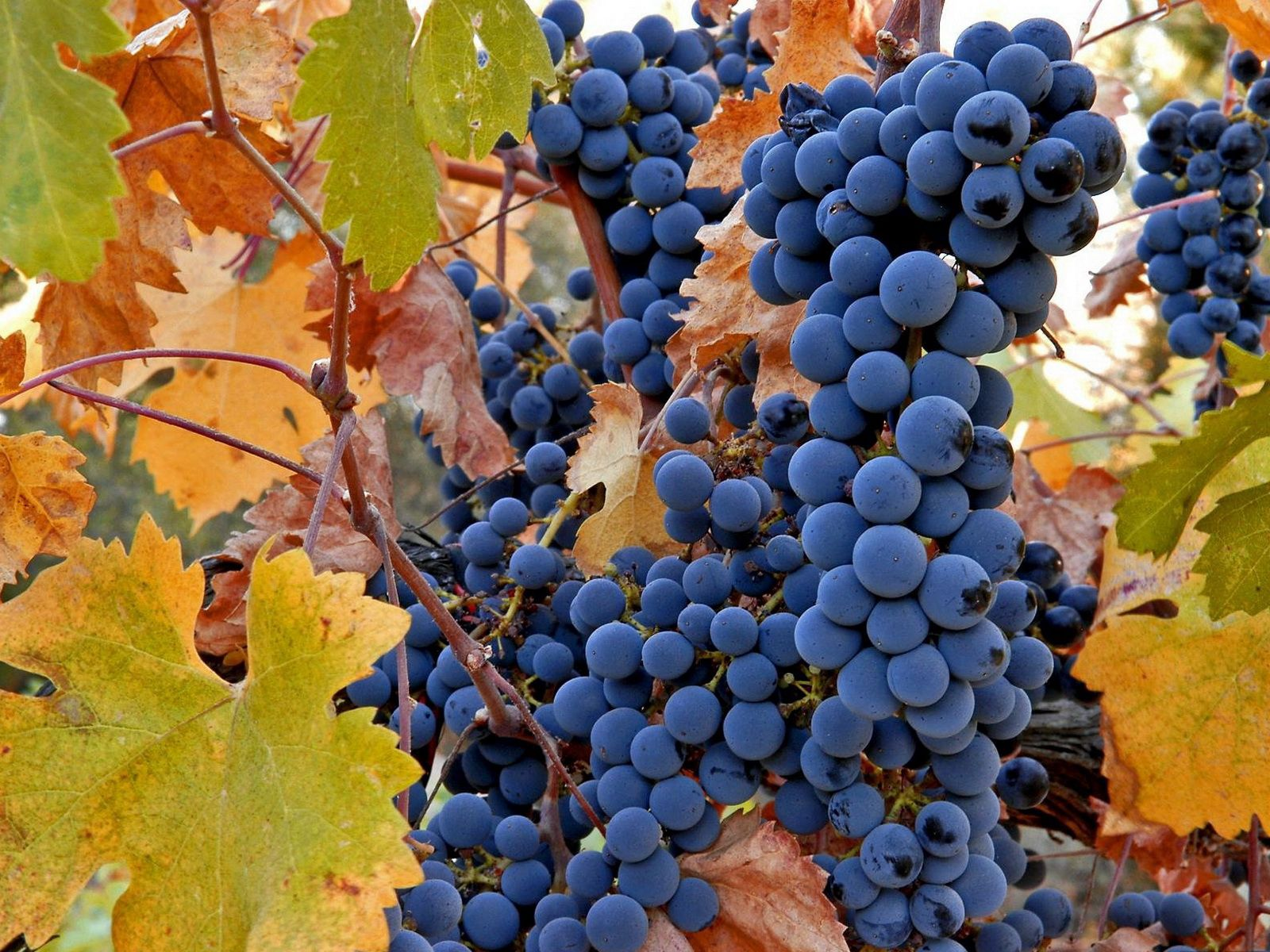 139532 скачать обои Фрукты, Еда, Осень, Листья, Виноград, Грозди, Урожай, Лоза - заставки и картинки бесплатно