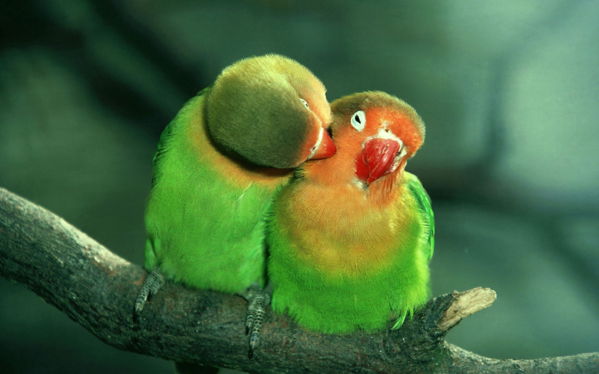 80022 Screensavers and Wallpapers Parrots for phone. Download Animals, Parrots, Couple, Pair, Care, Tenderness pictures for free