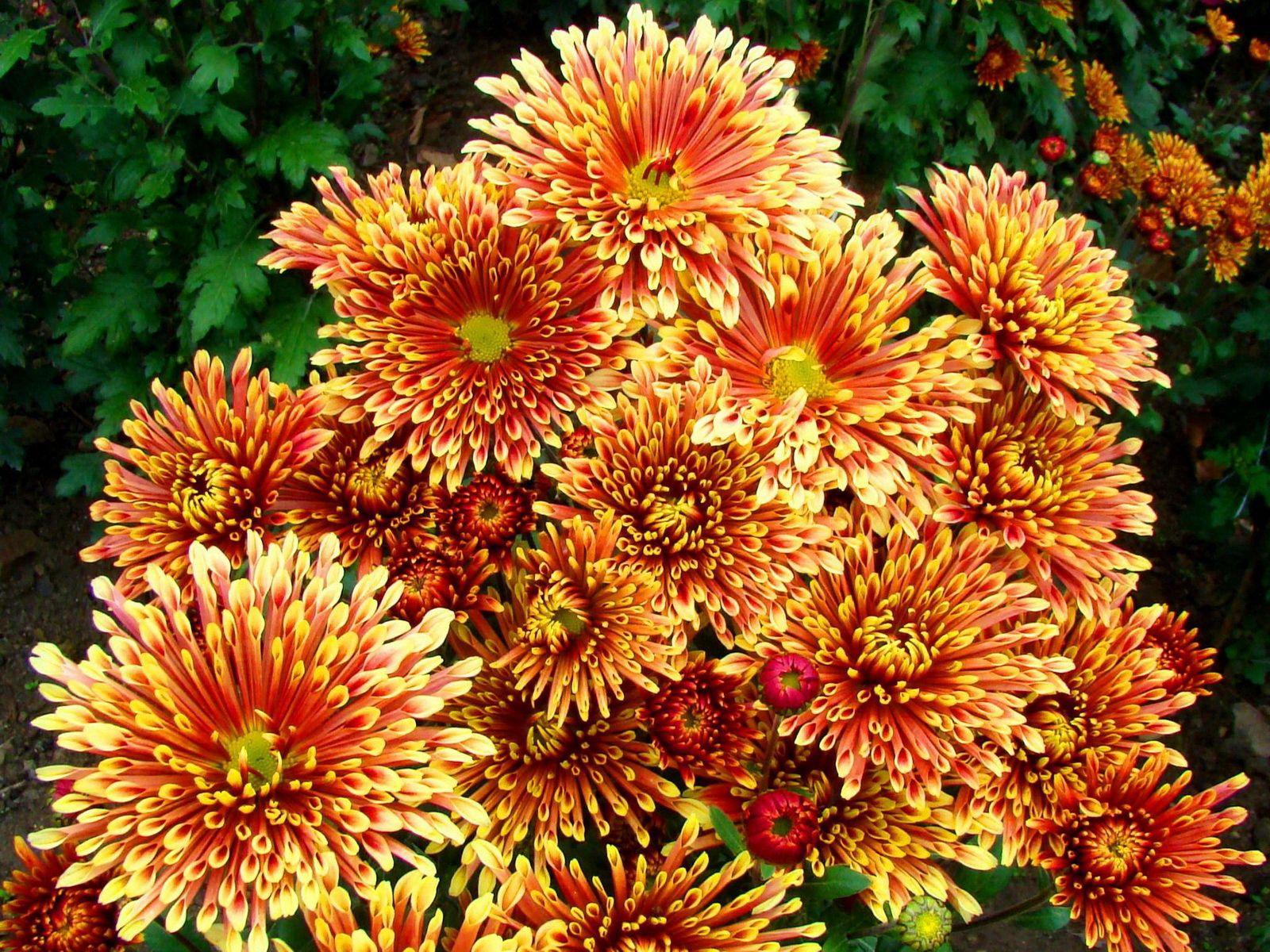 133230 скачать обои Хризантемы, Цветы, Яркие, Пестрые, Красочные - заставки и картинки бесплатно