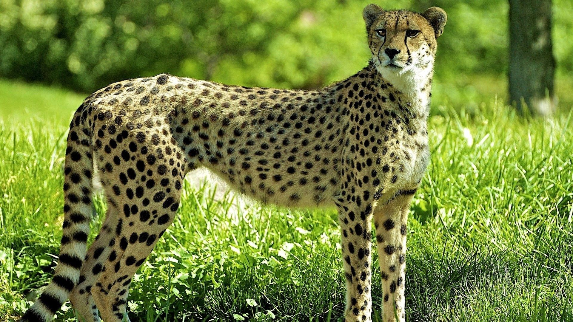 150306 download wallpaper Animals, Grass, Cheetah, Predator, Look screensavers and pictures for free