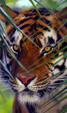 62395 免費下載壁紙 动物, 老虎, 虎, 枪口, 莫尔达, 叶, 视线, 查看, 有条纹的, 条纹 屏保和圖片