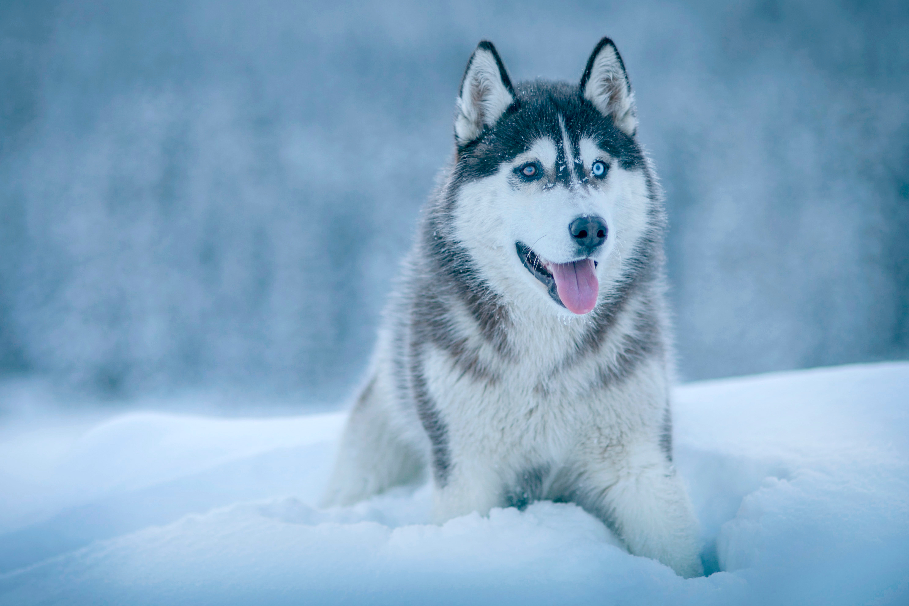 124045 Screensavers and Wallpapers Husky for phone. Download Animals, Snow, Dog, Muzzle, Husky pictures for free